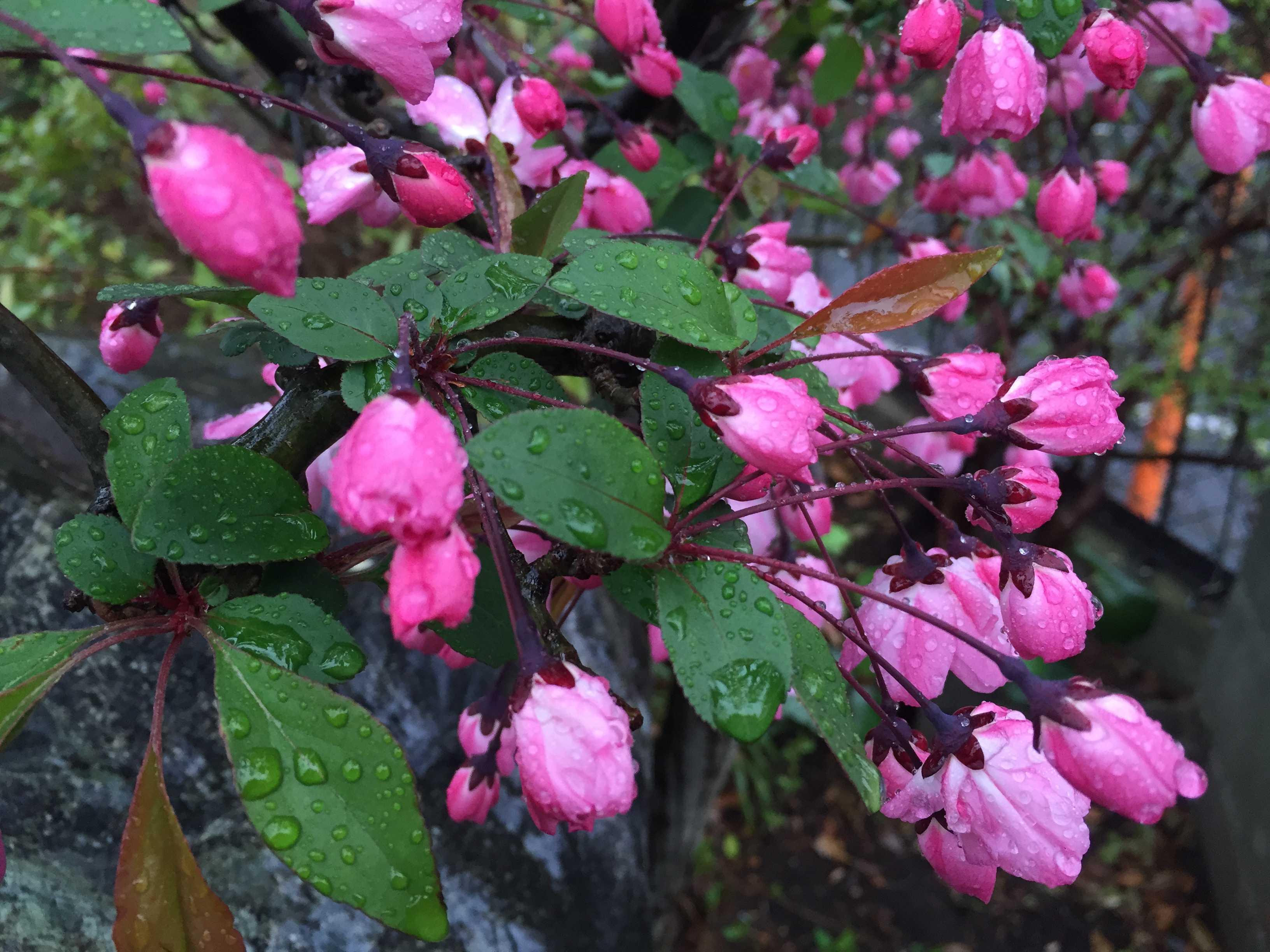 ハナカイドウ(花海棠)の葉っぱ
