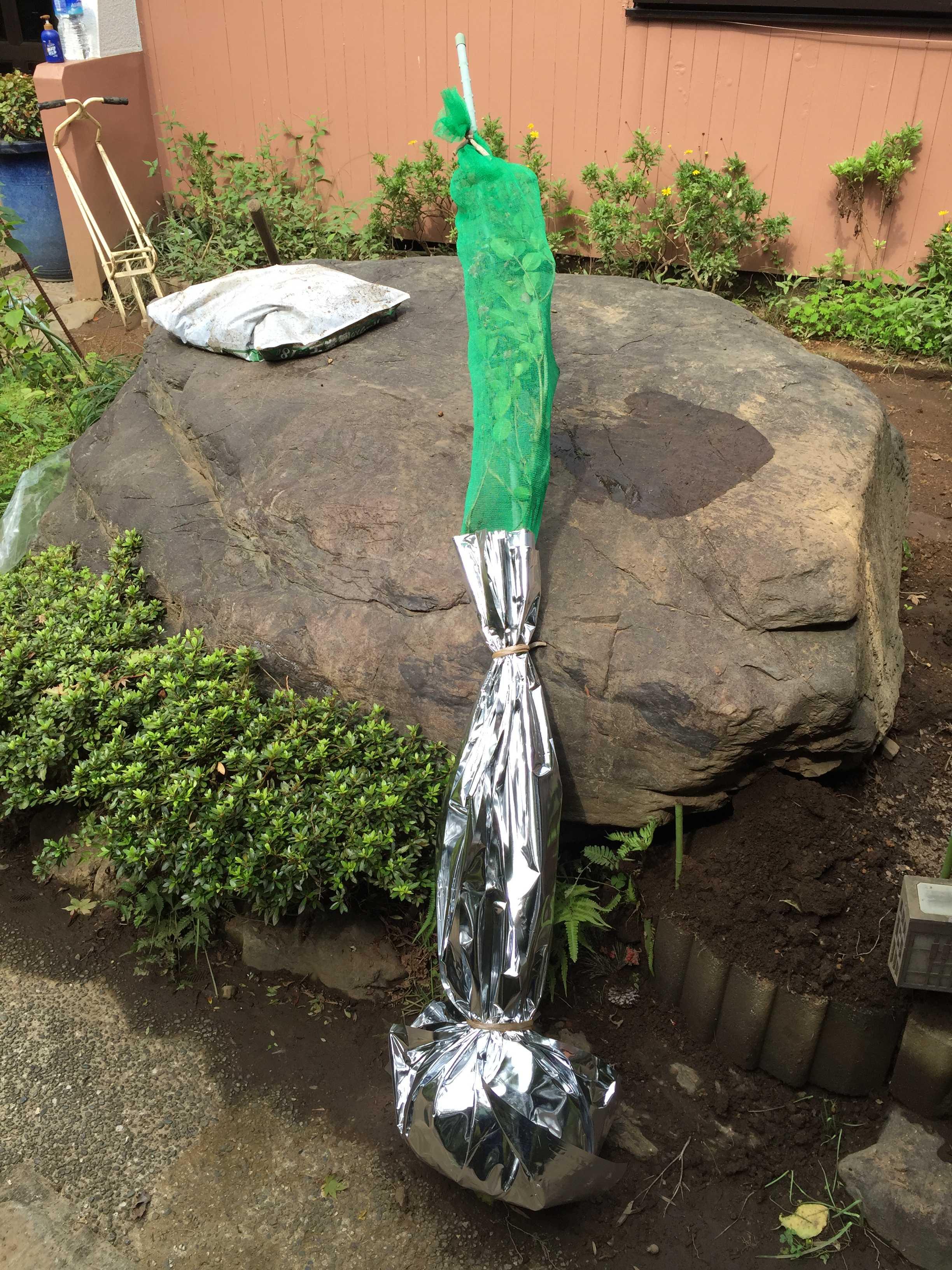 自宅に届いたサルスベリ「ナツマツリ」1.2m