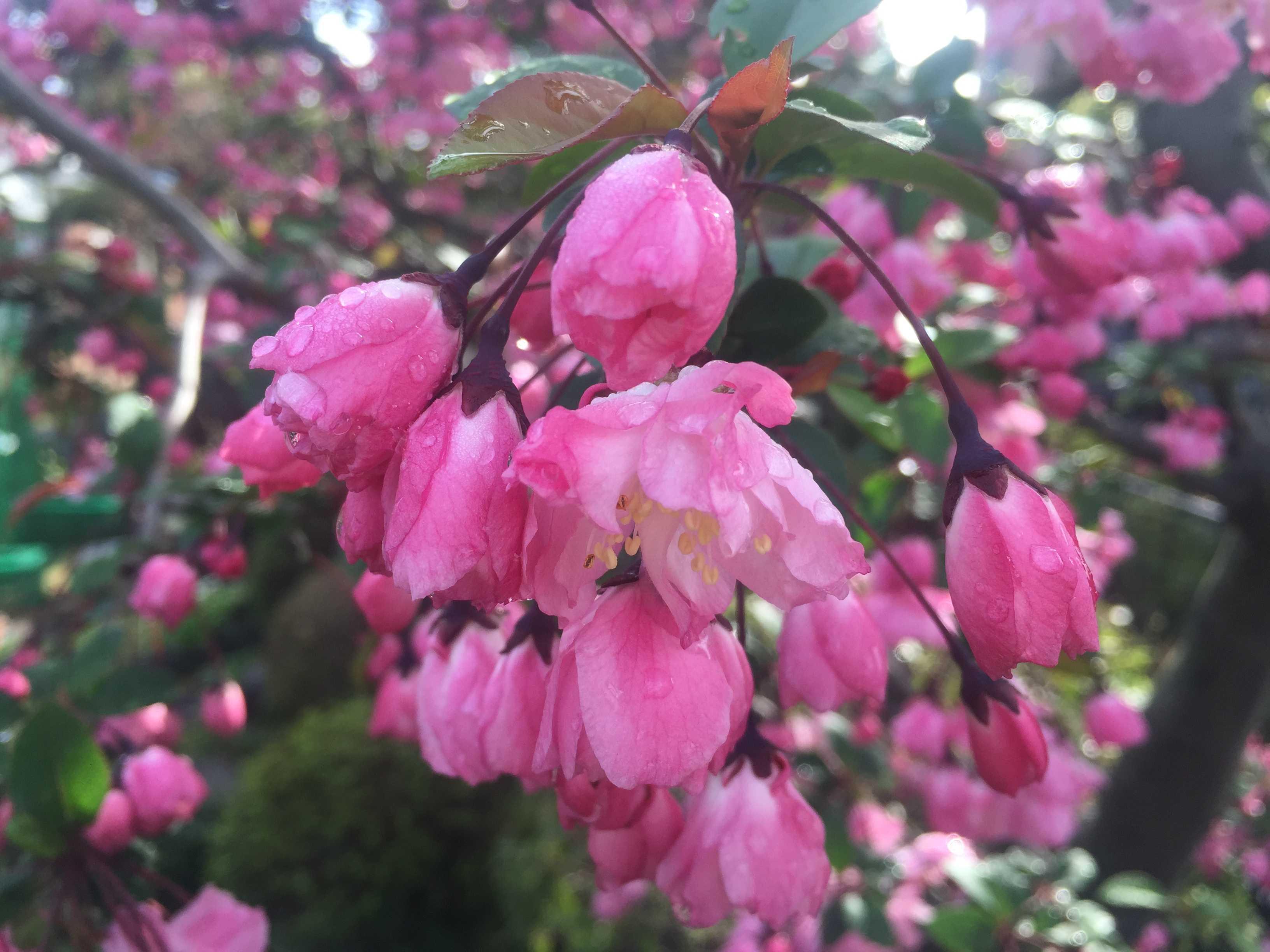 開花した花海棠