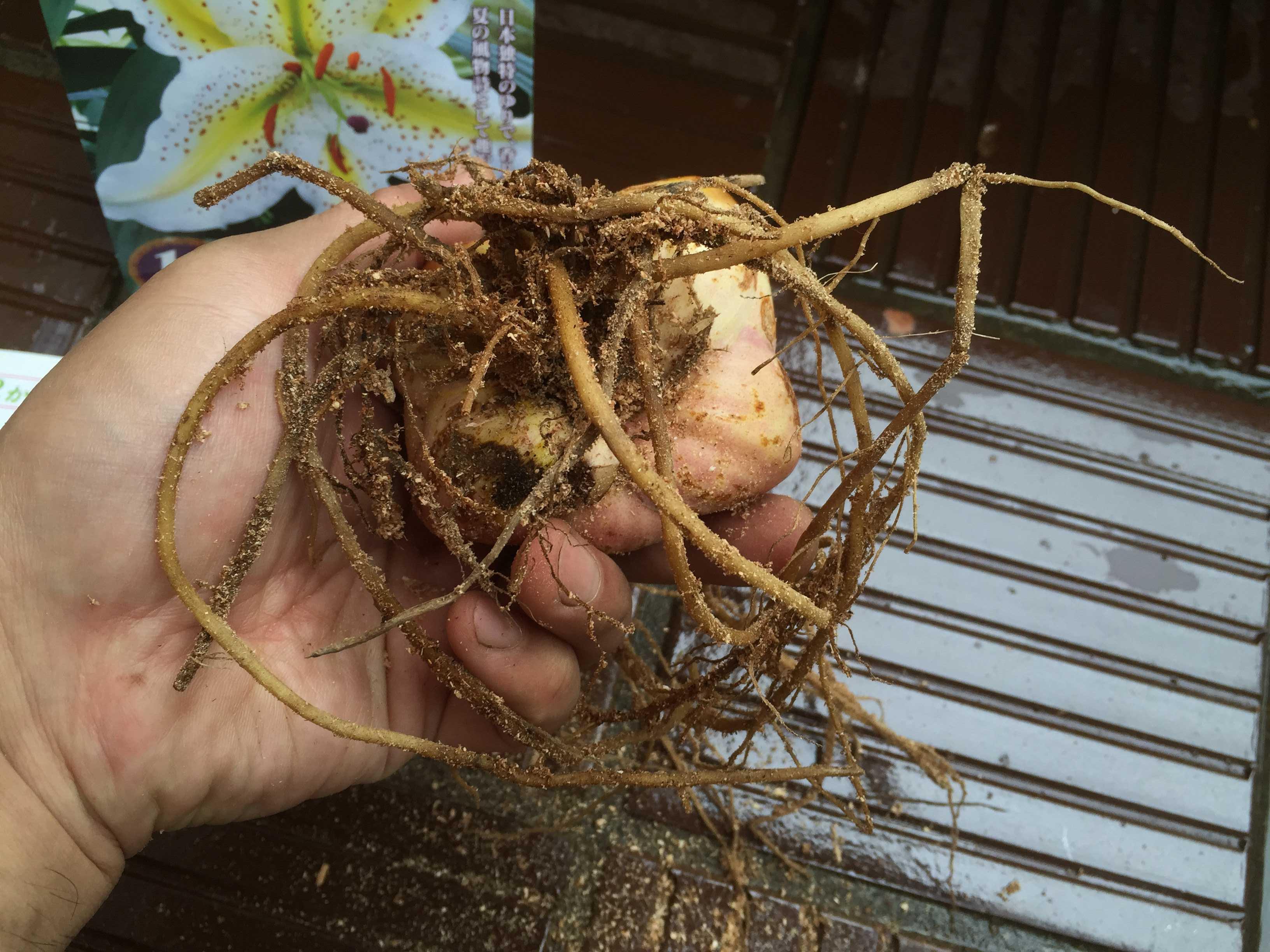 ヤマユリの鱗片挿し - 下から見たヤマユリの球根