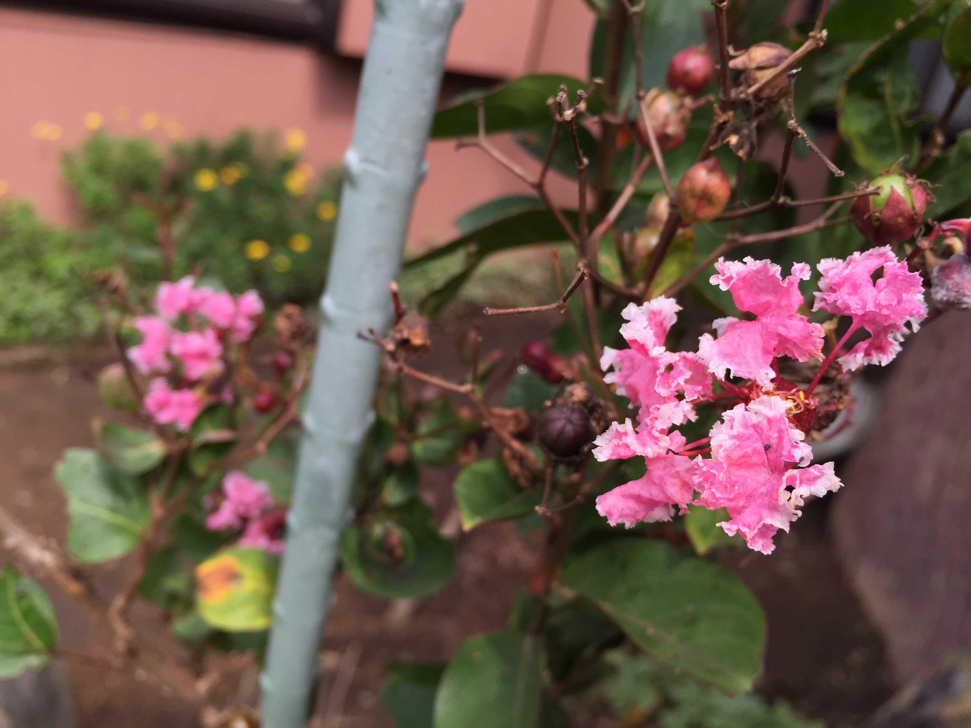 さるすべり夏祭りのピンクと白い花