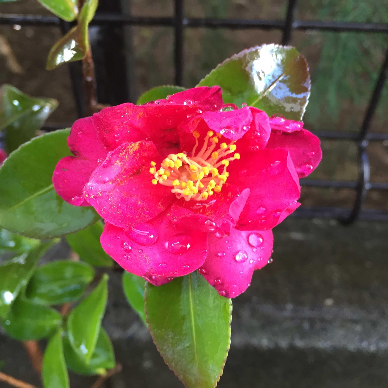 真っピンク色のサザンカ(タチカン/立寒椿)の勘次郎