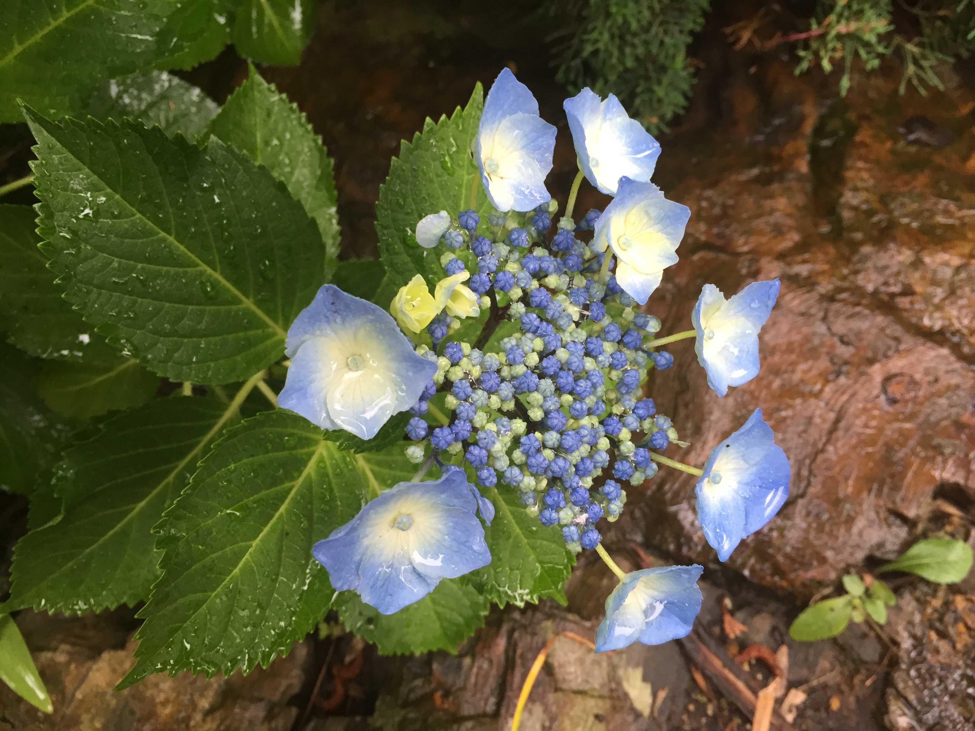 木化石をバックに咲くガクアジサイ(額紫陽花)