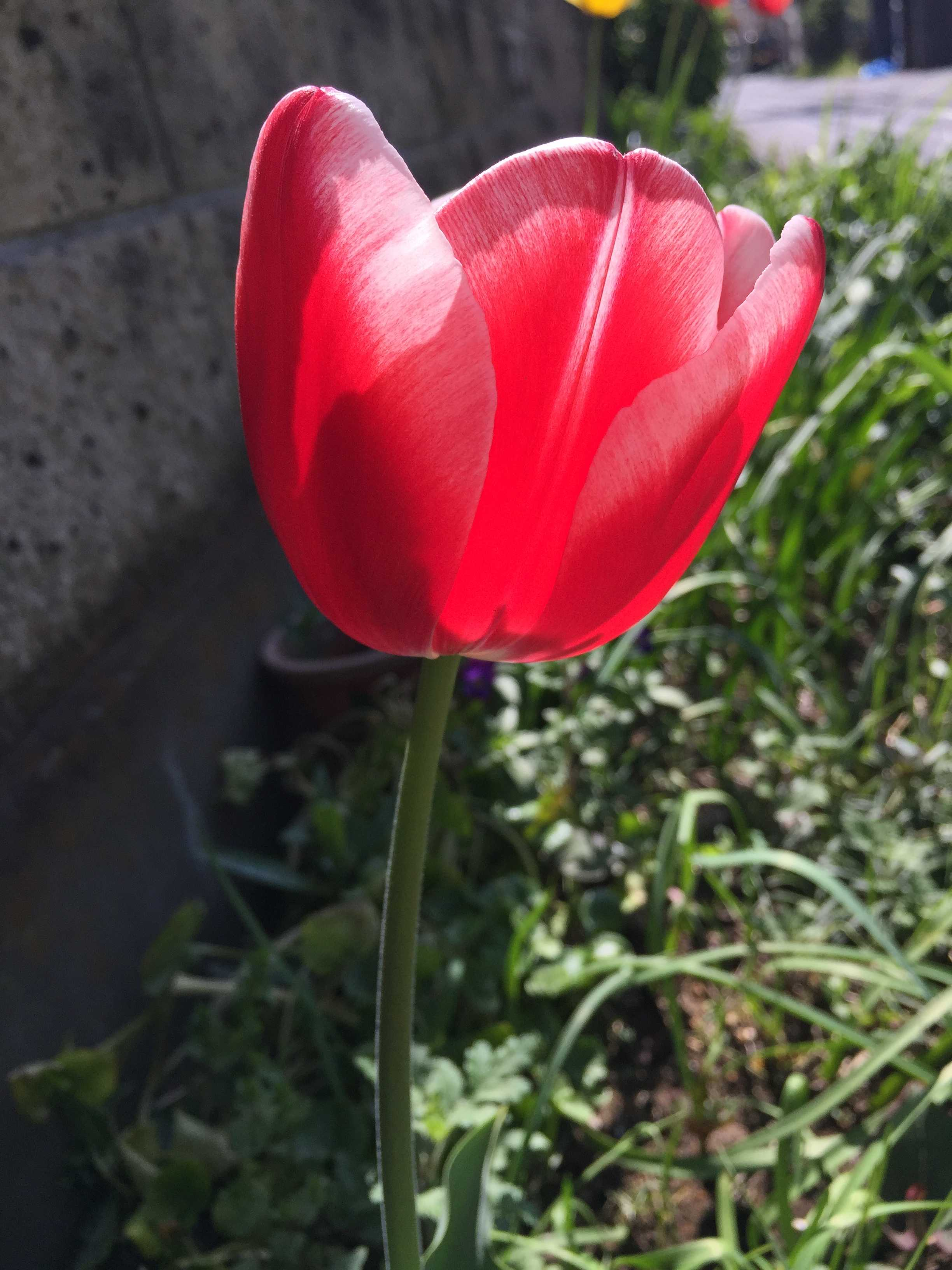 紅白のチューリップの花