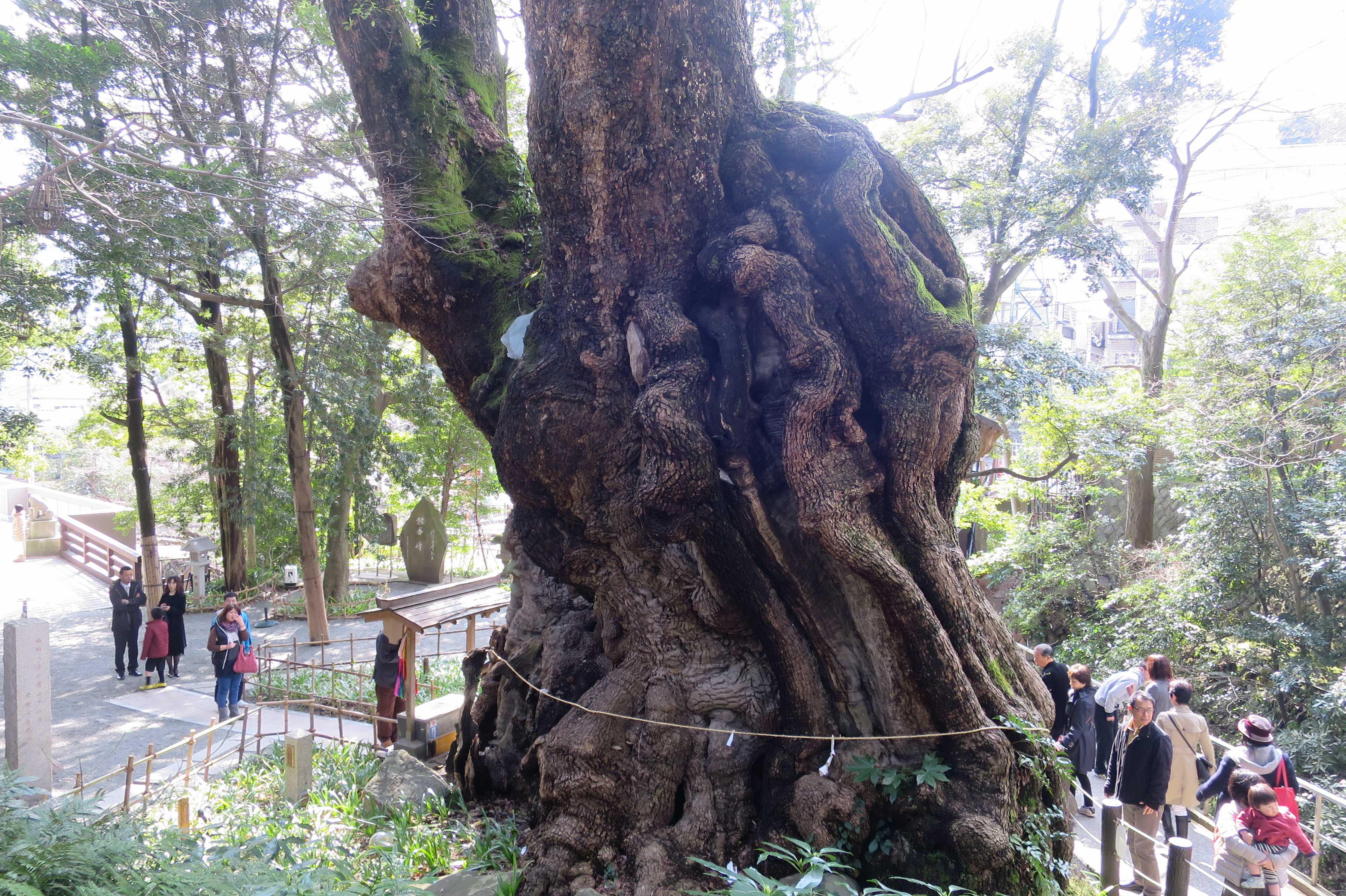 熱海・来宮神社の大楠(大樟)