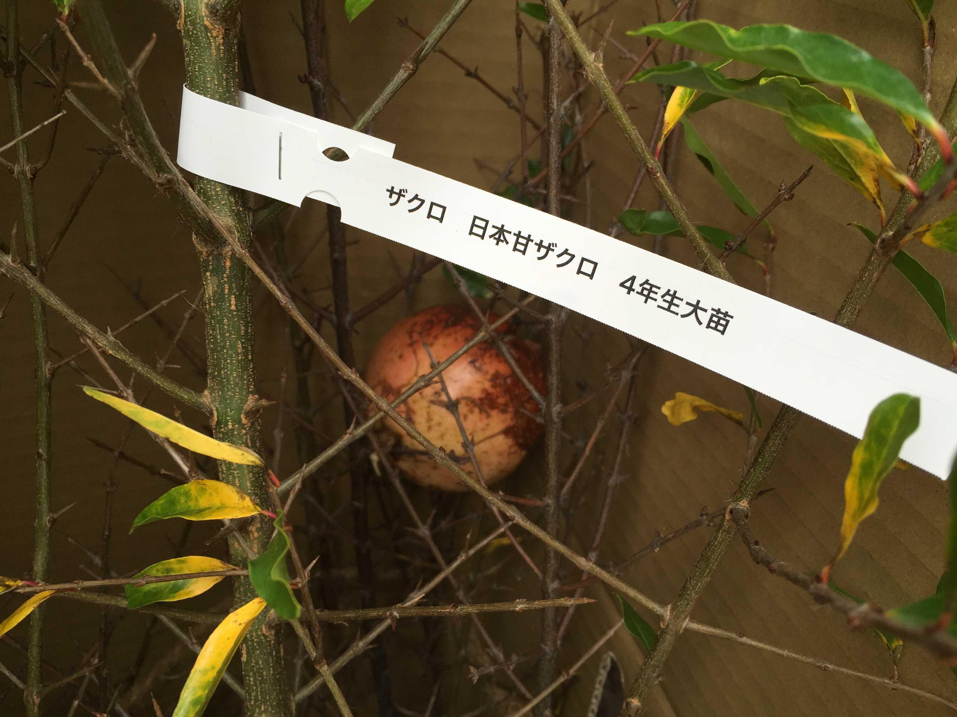 ザクロの地植え: 段ボールの中のザクロの木