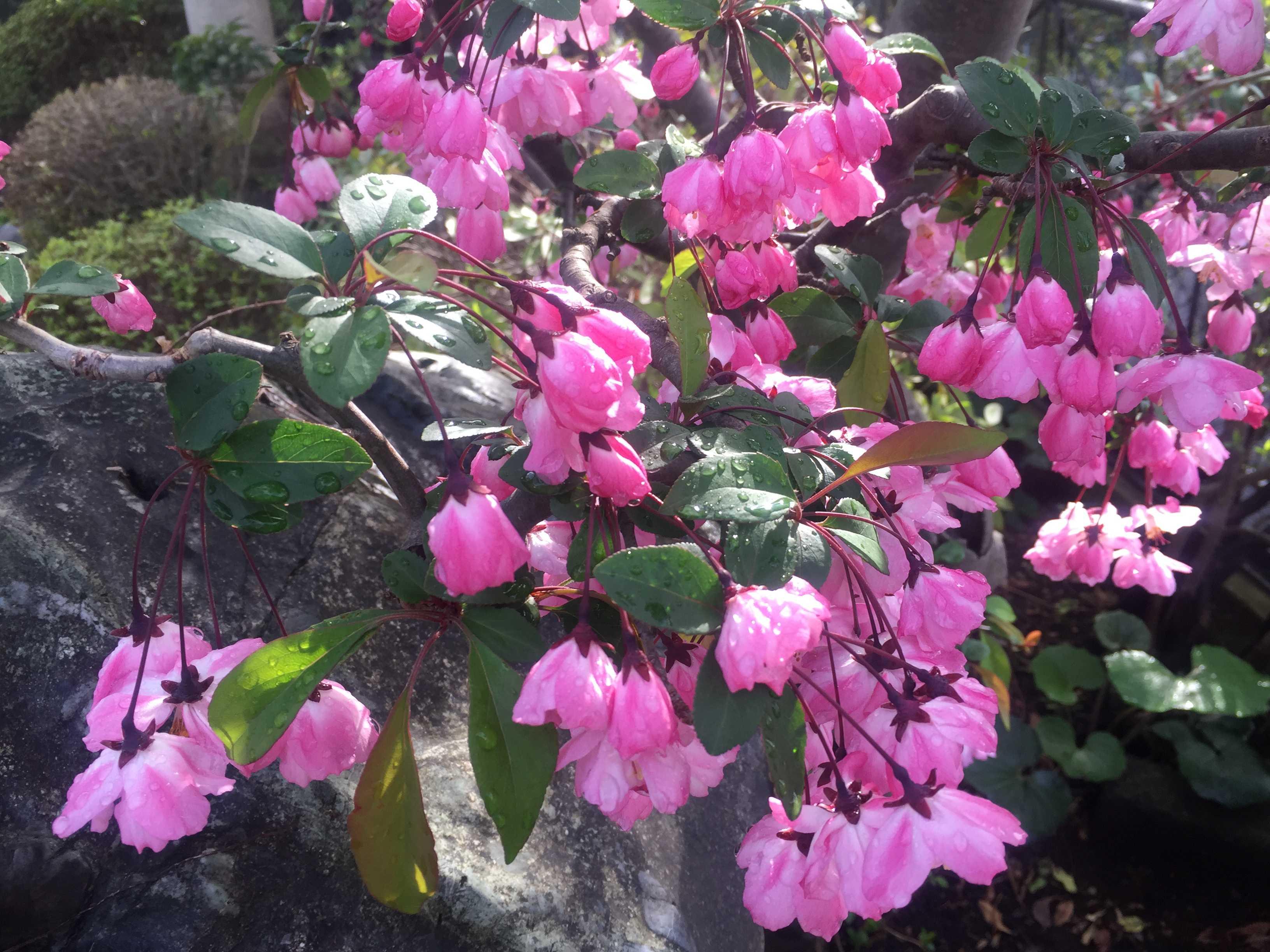 開花したハナカイドウ