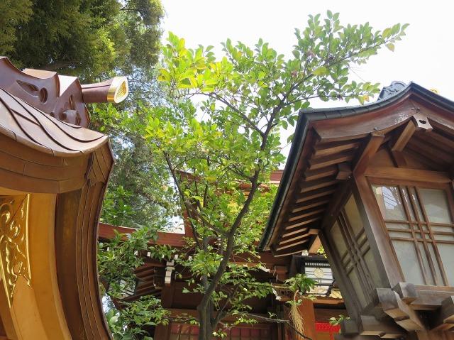子安神社の右近橘(大和橘)
