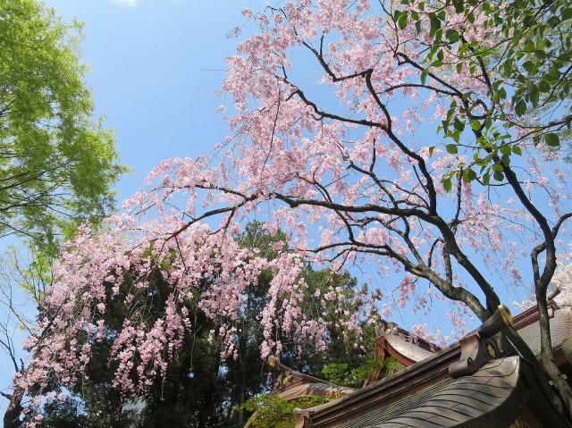 八王子・子安神社のサクラ