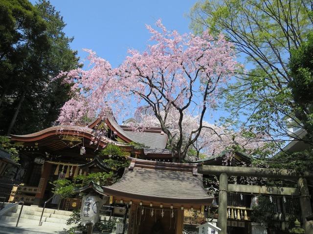 春の青い空と枝垂れ桜(八王子市)