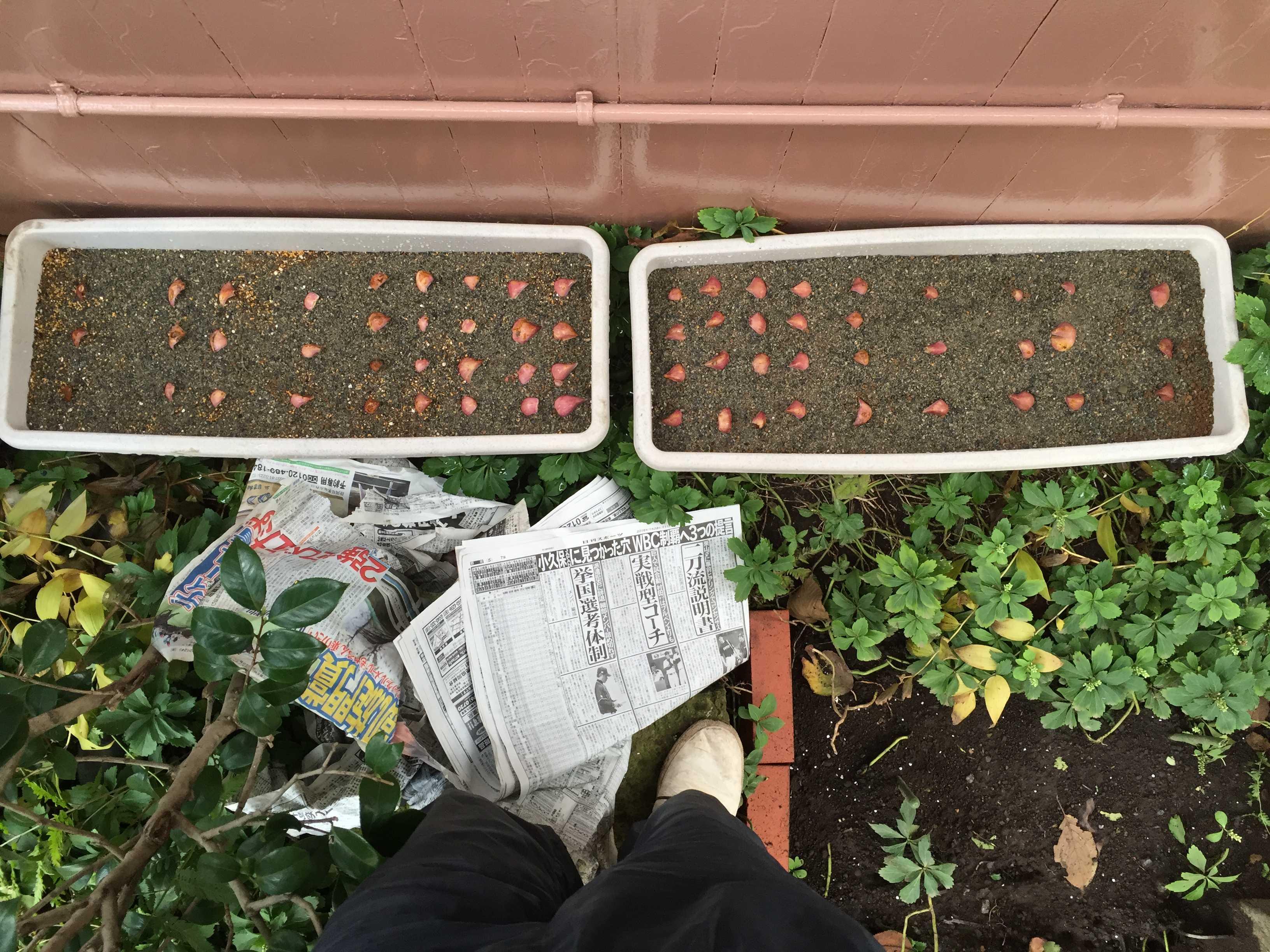 ヤマユリの種子繁殖/実生 - 鱗片挿し