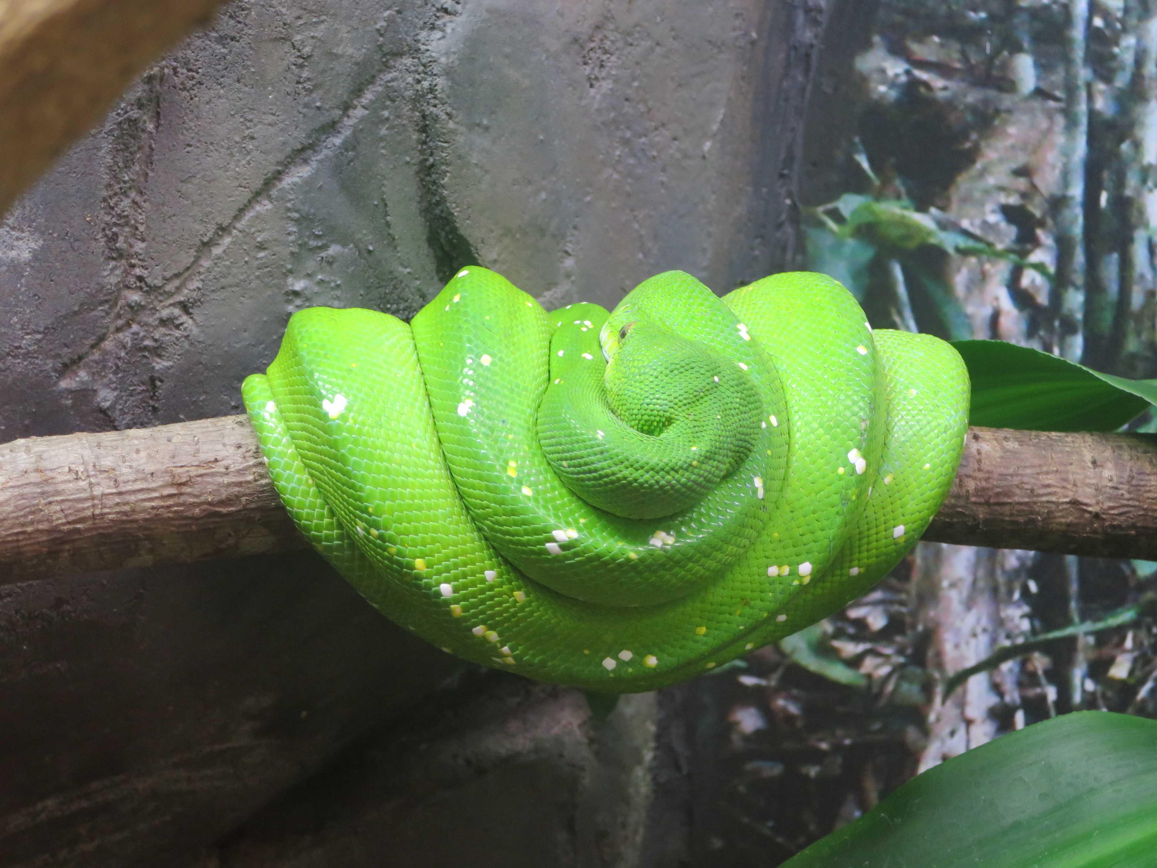 ケアンズトロピカルズー - 緑色のヘビ(蛇)