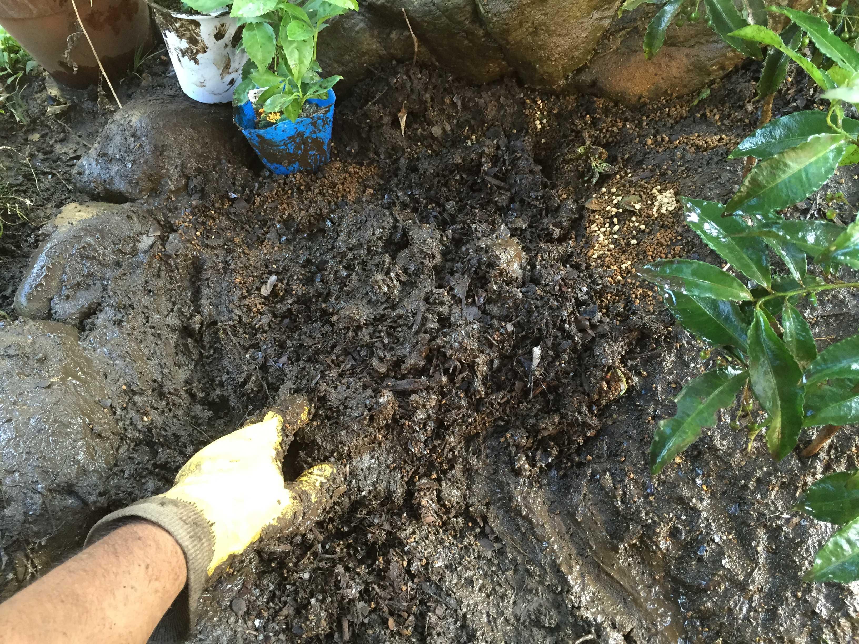 黄実の千両(キミノセンリョウ) の植え付け - 掘った土と赤玉土(小粒)と腐葉土のブレンド土