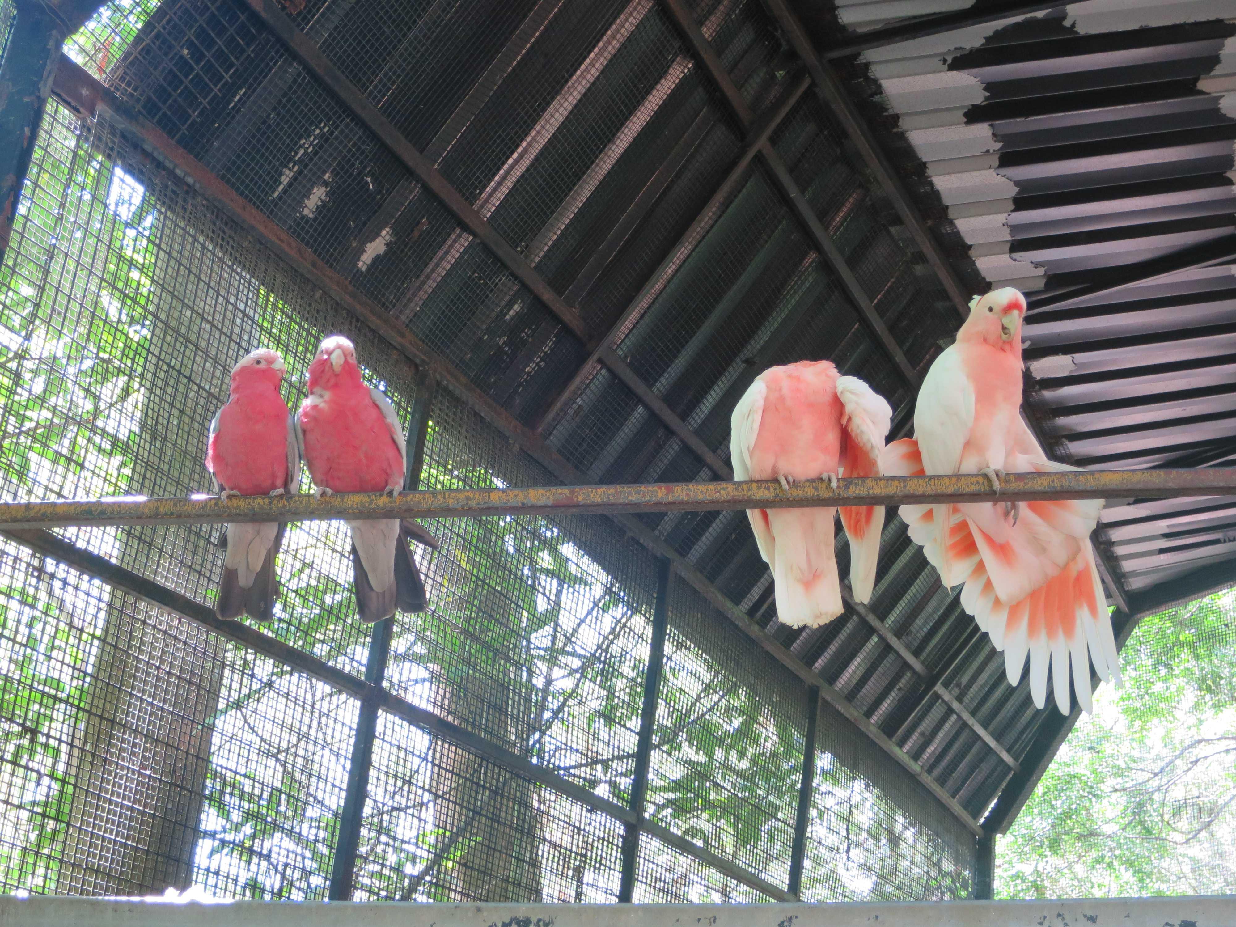 ケアンズトロピカルズー - ピンク色の鳥