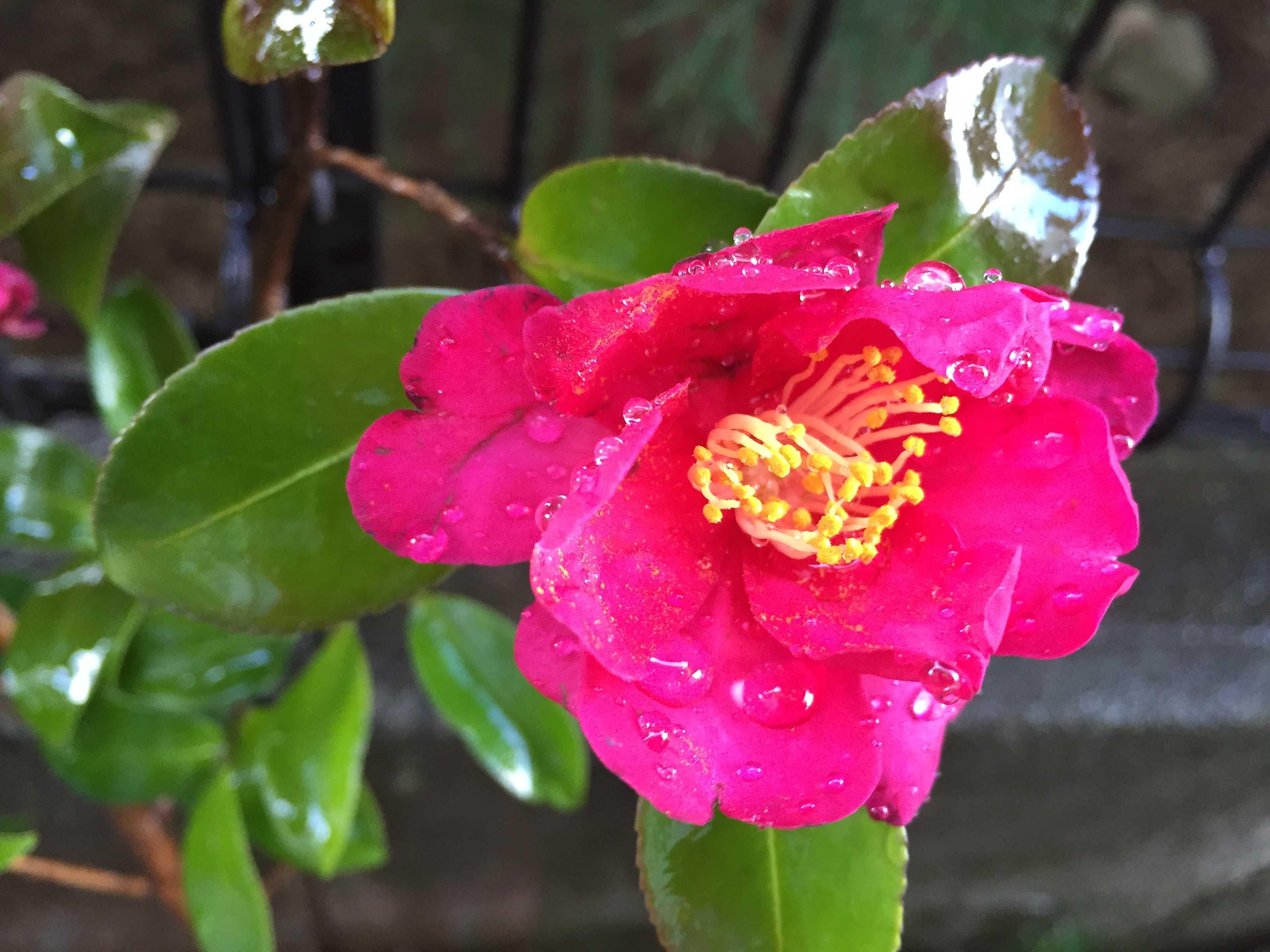 サザンカ(タチカン/立寒椿)の勘次郎のショッキングピンクの花びら