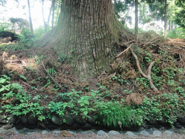 日光杉並木街道の杉の木