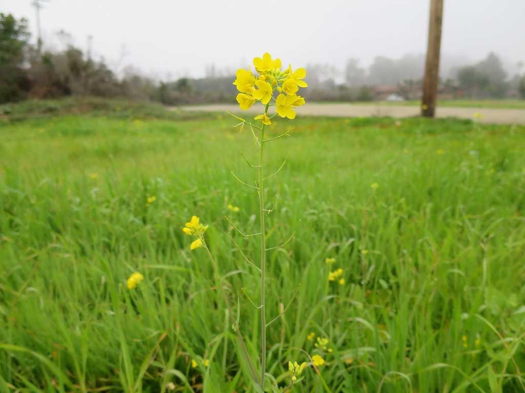 サラトガの黄色い花