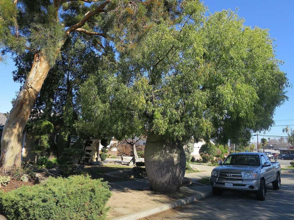 サラトガ・アベニュー近くの丸くて太くて面白い形の木