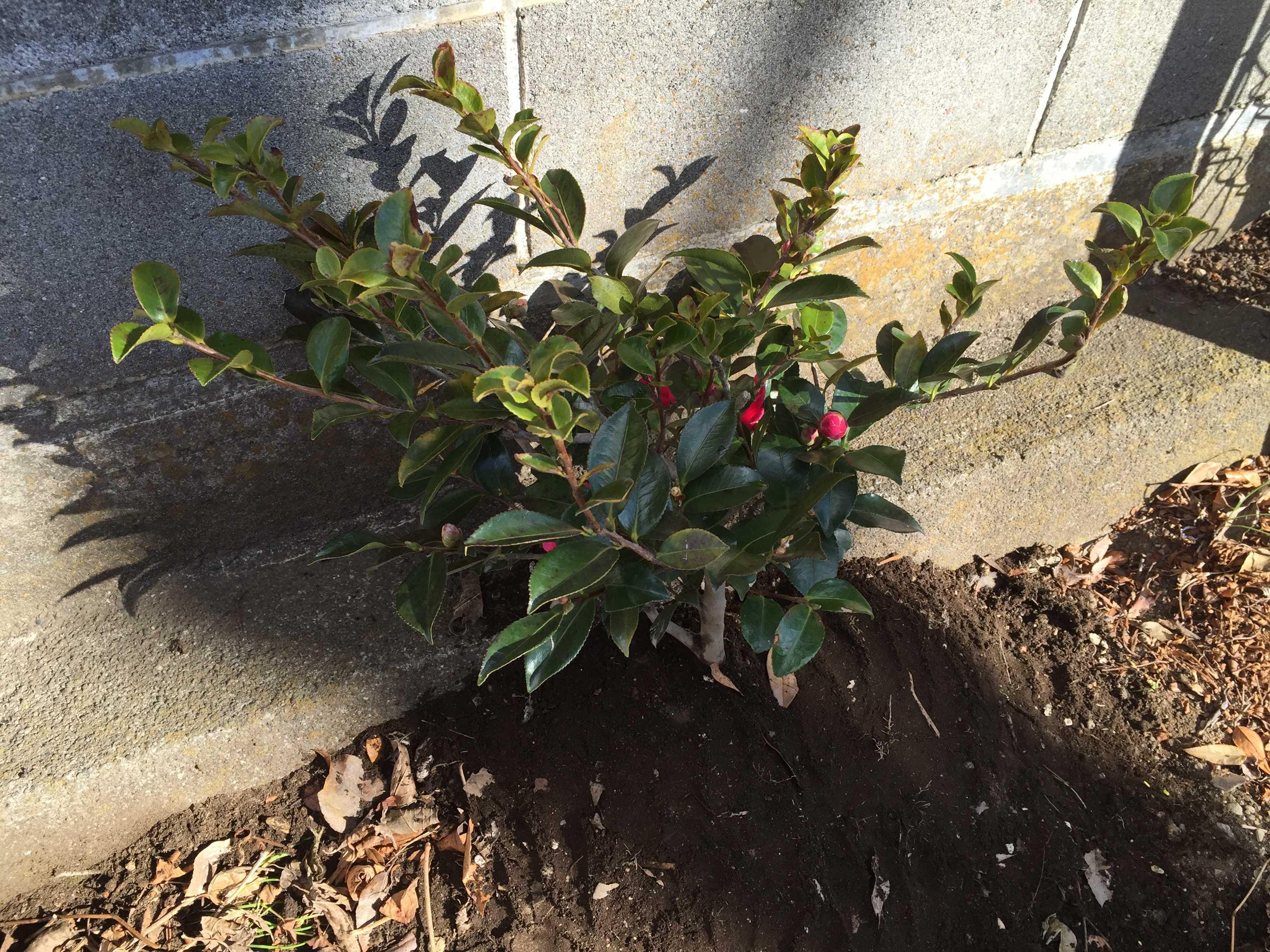 ハイカン(這い寒椿)の植え付け
