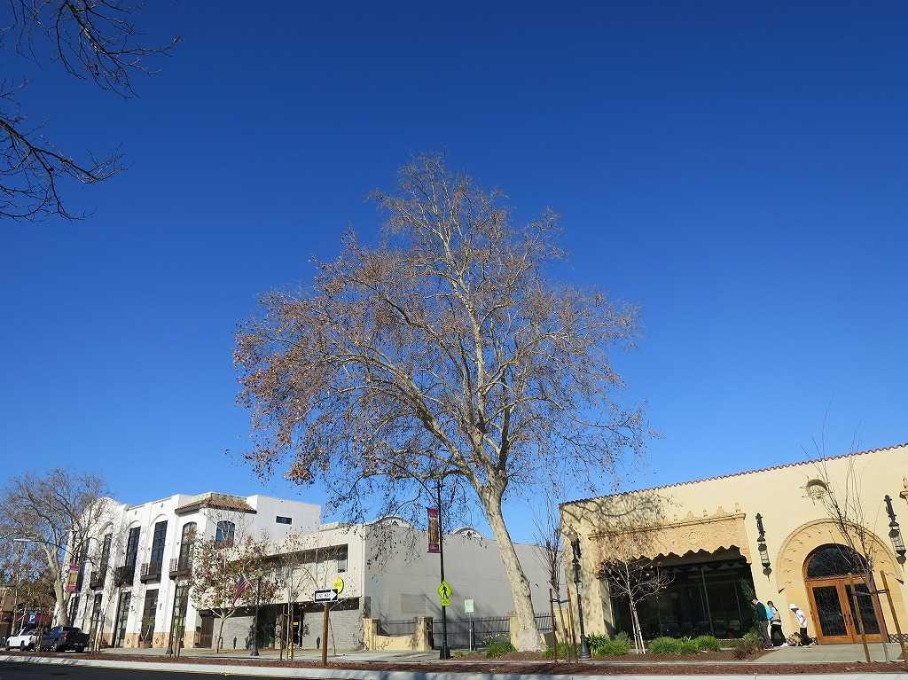 サンノゼの青い空と枯れ木