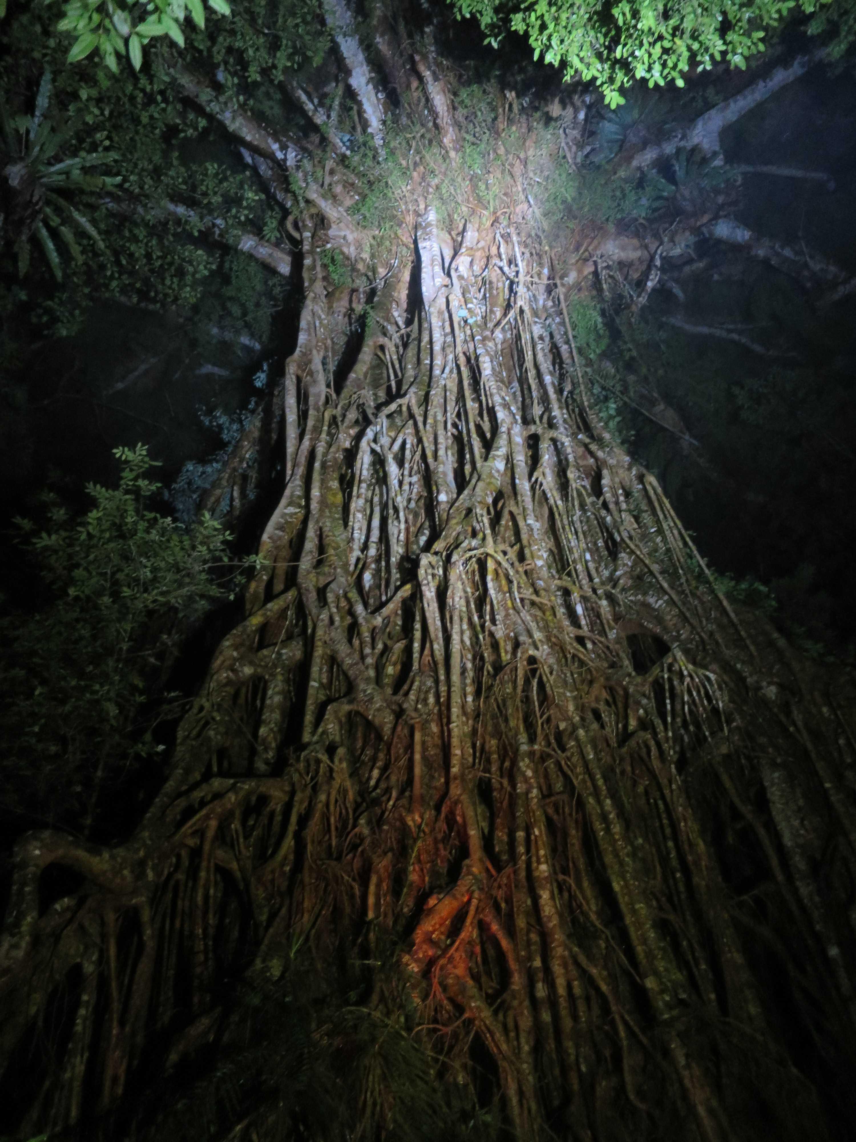 ケアンズ 聖堂の樹(Cathedral Fig Tree)
