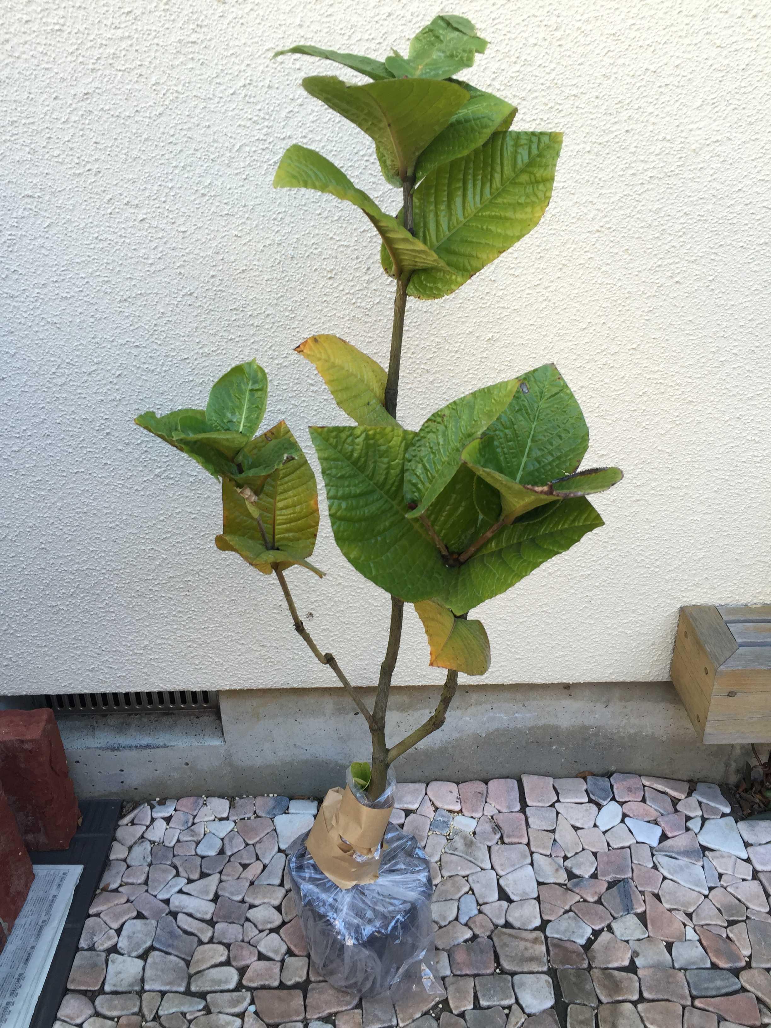 ベトナム産の黄花椿「ムラウチィ」