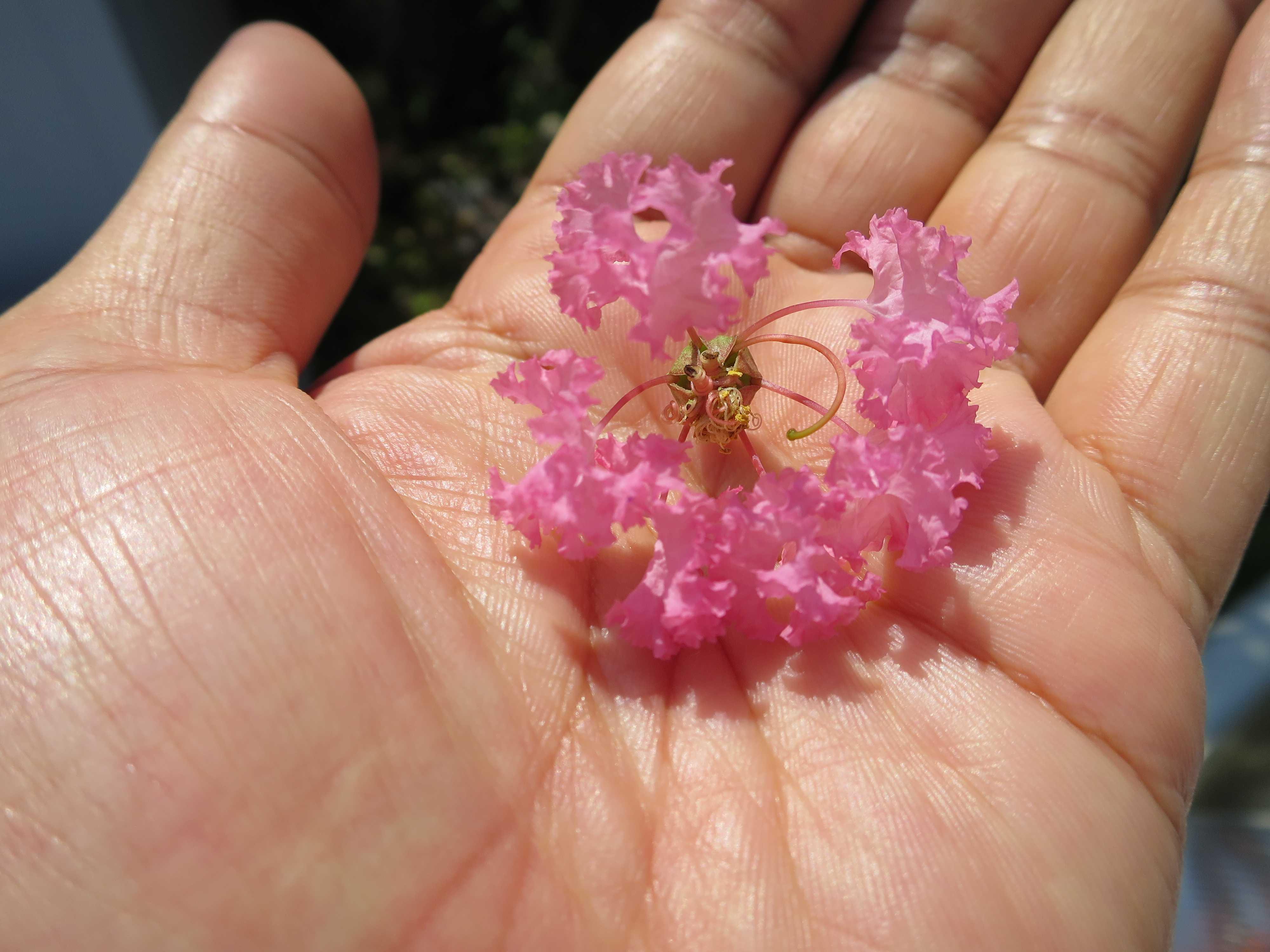 ピンクのサルスベリ(百日紅)の花