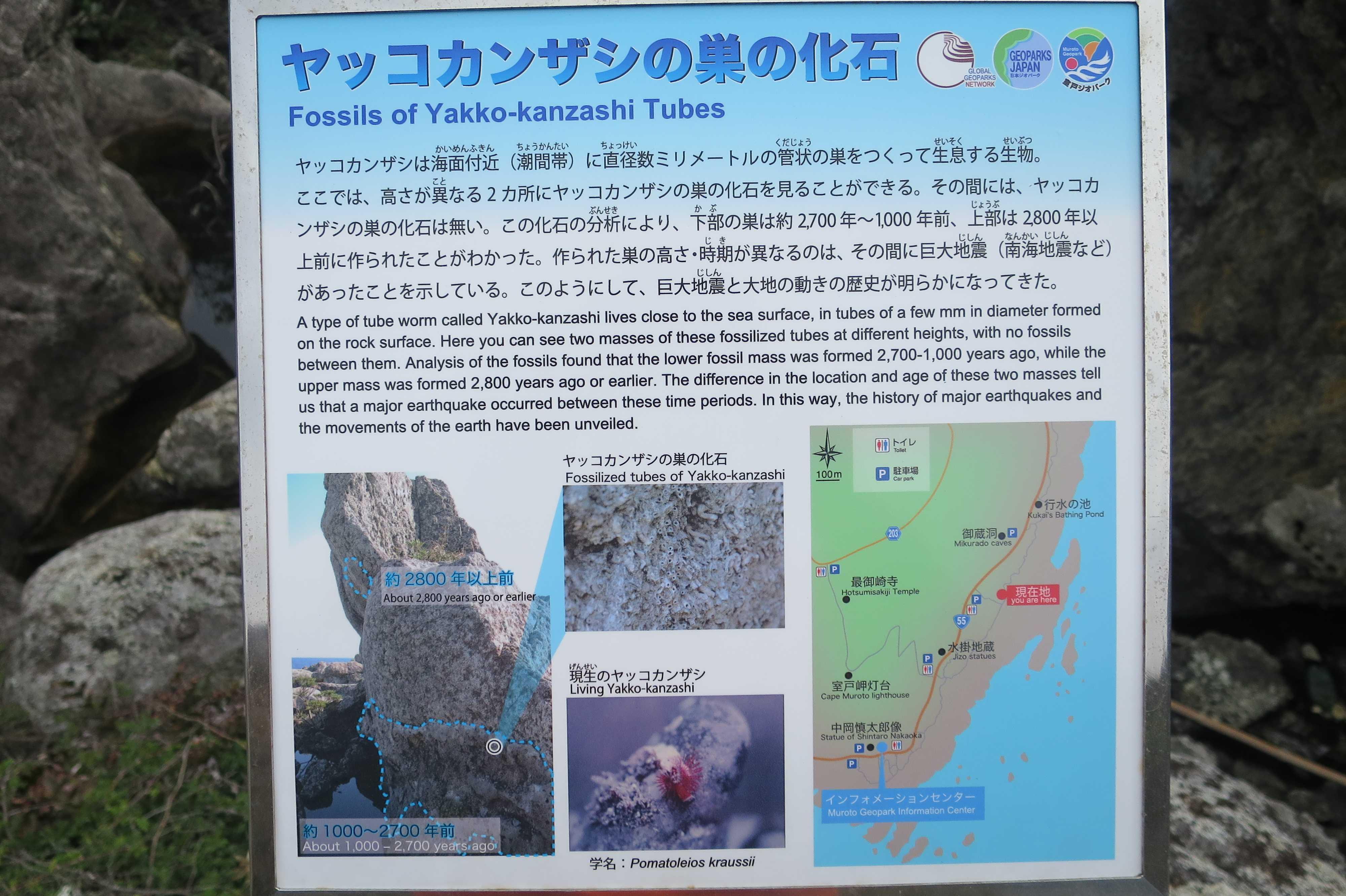 ヤッコカンザシの巣の化石 Fossils of Yakko-kanzashi Tubes - 室戸岬 乱礁遊歩道