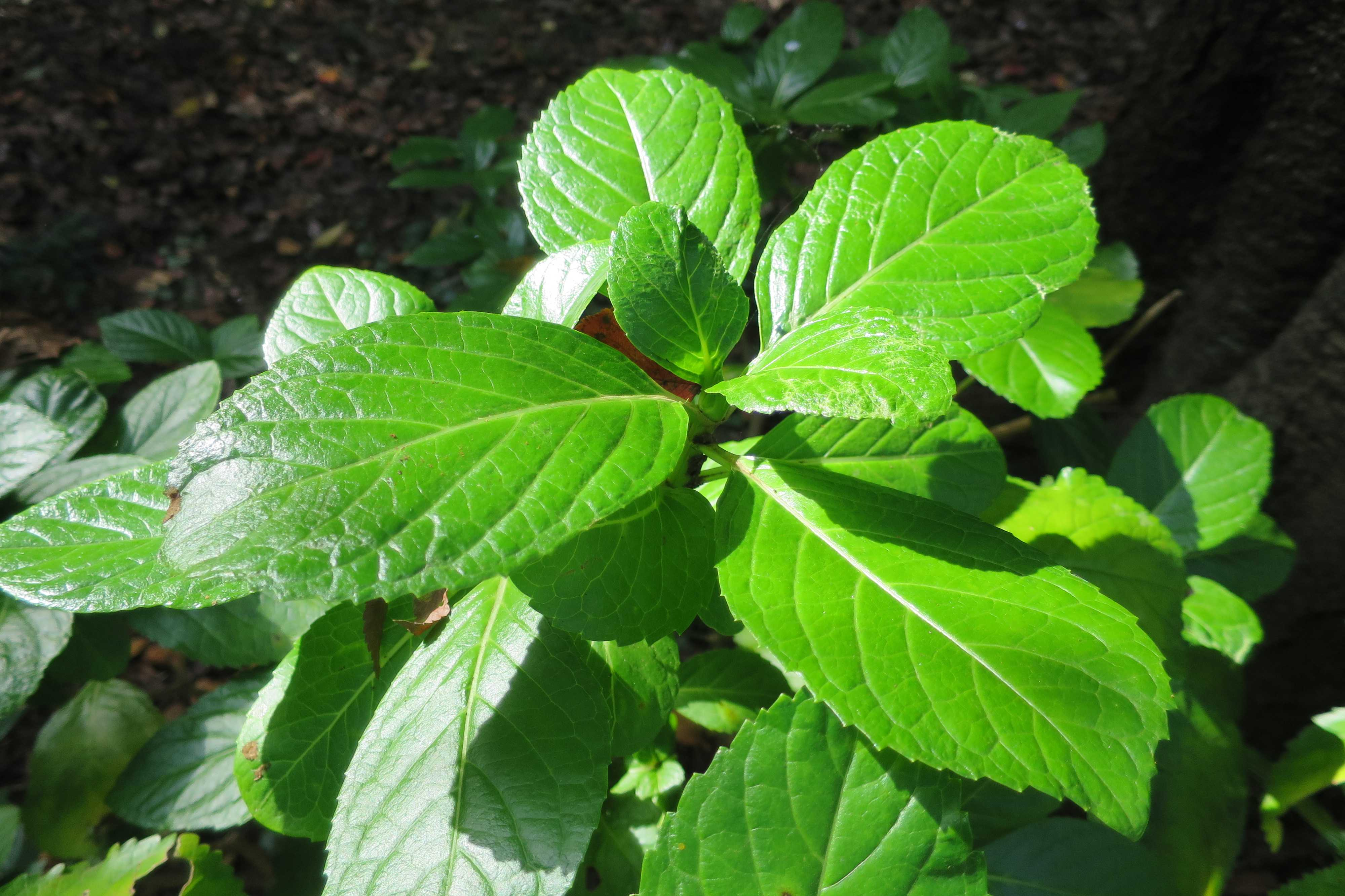 無量光寺 - 鮮烈な緑色の葉っぱ