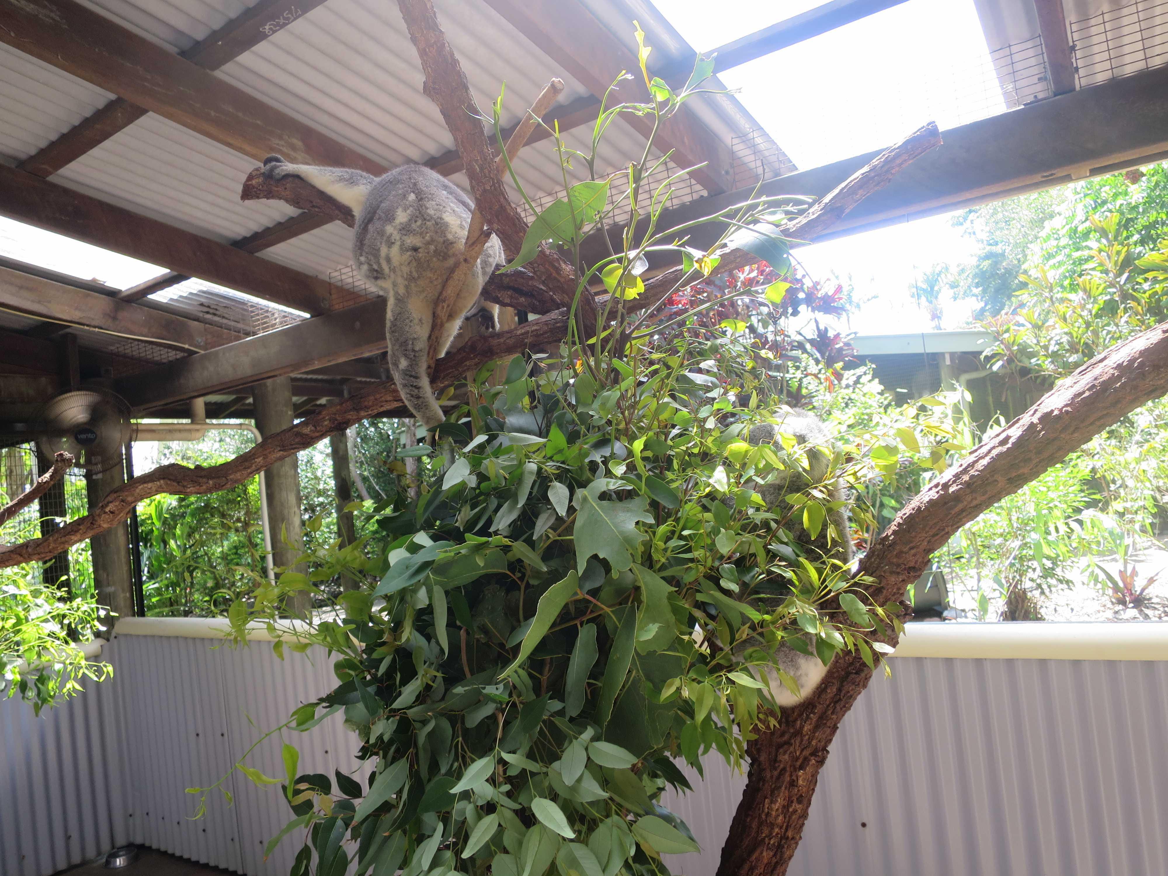 ケアンズトロピカルズー - 垂れたコアラ