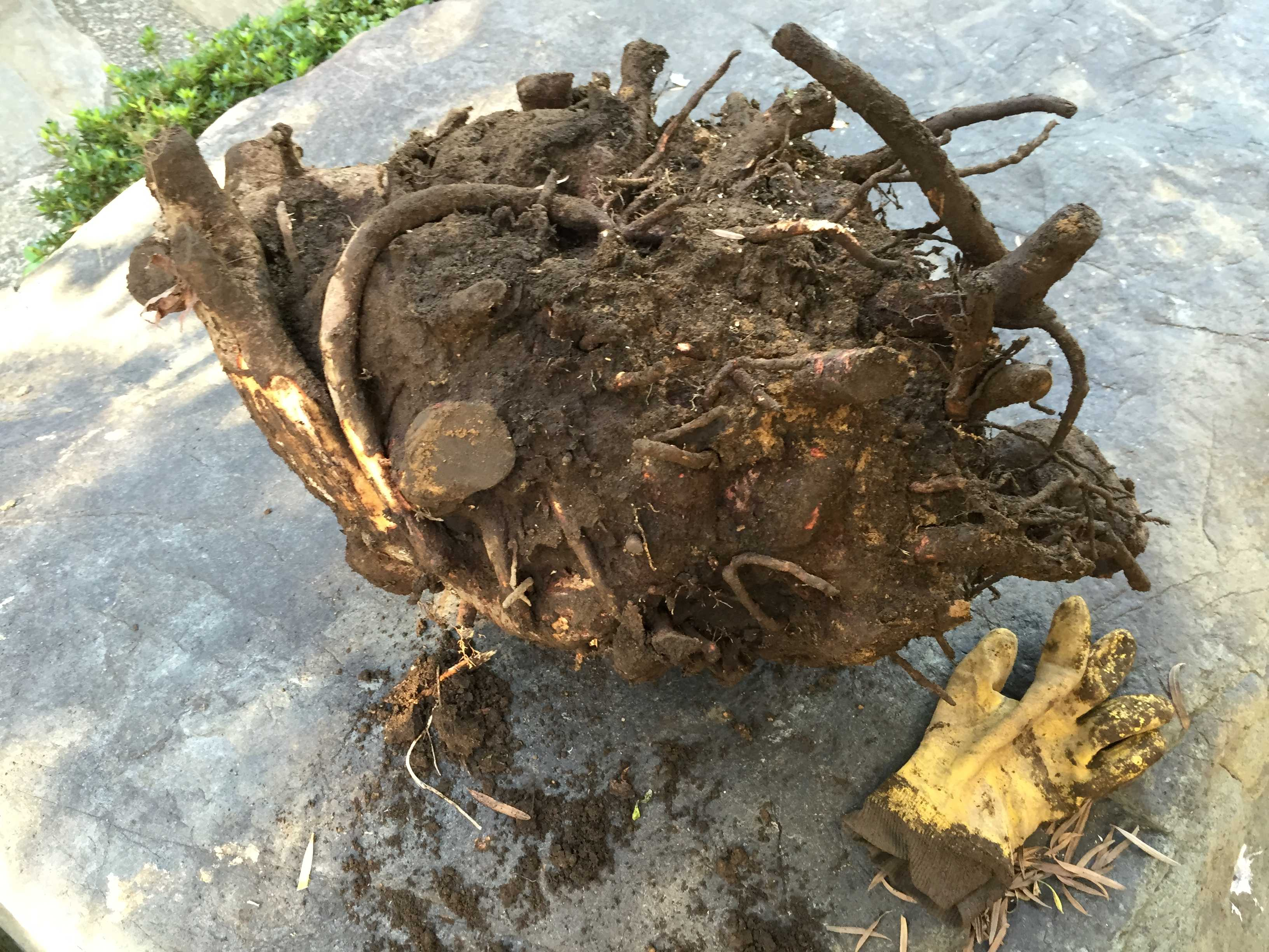 抜根した椿(ツバキ)の根っこ