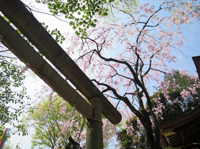 子安神社の左近桜(垂桜)