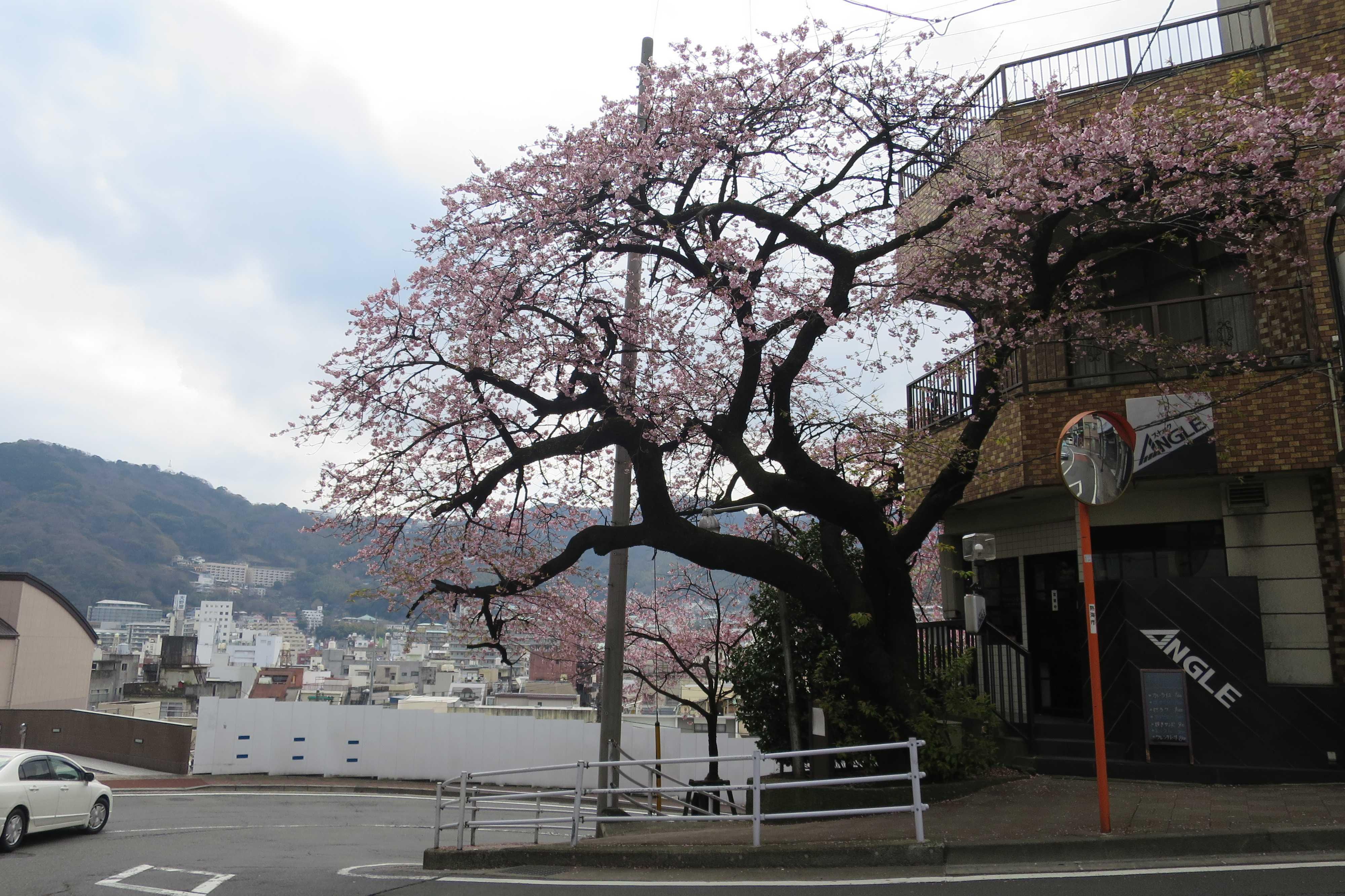熱海 - 夫婦桜