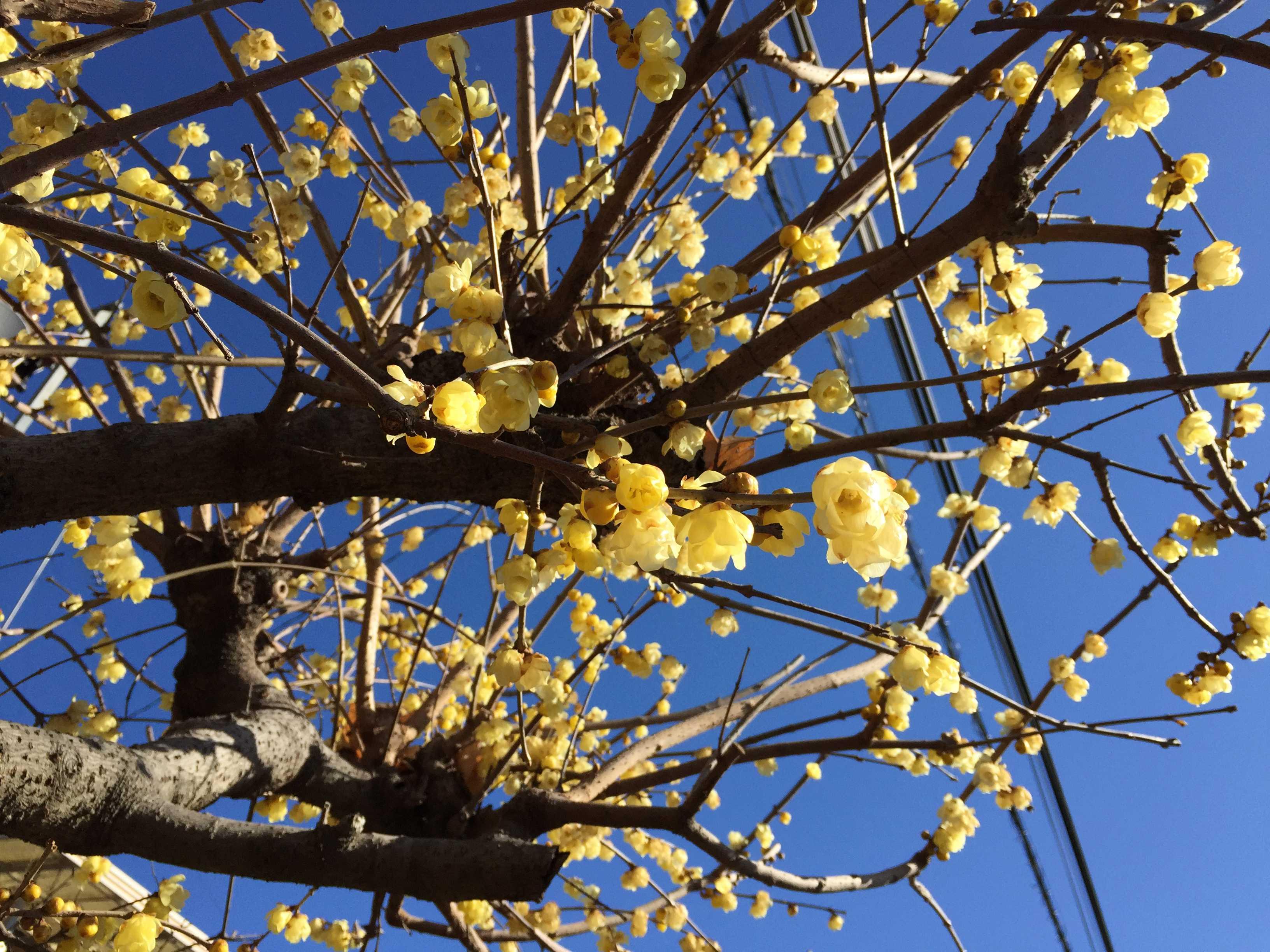 黄色い花 ロウバイ