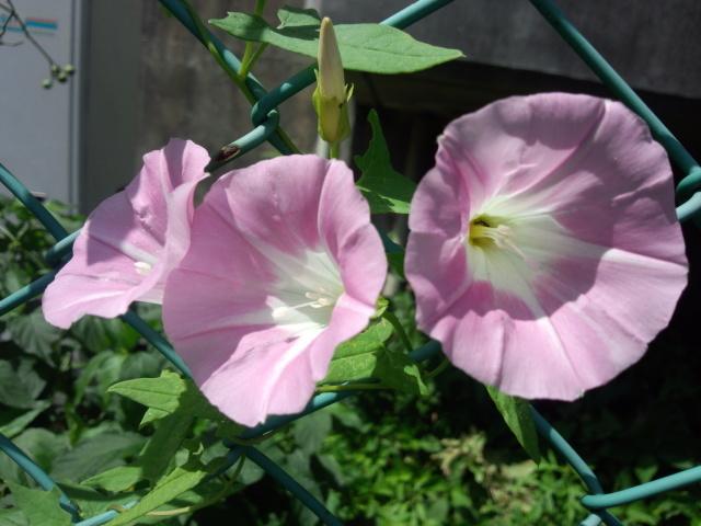 ピンク色のアサガオ