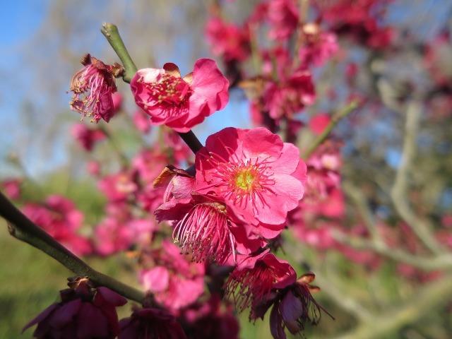 紅梅の真っ赤な花びら