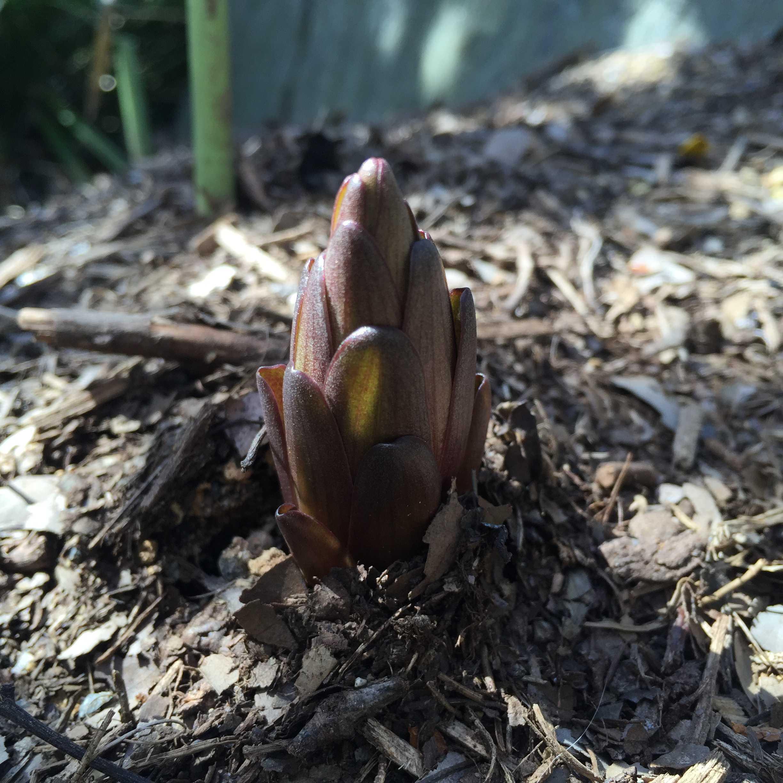 ヤマユリの芽