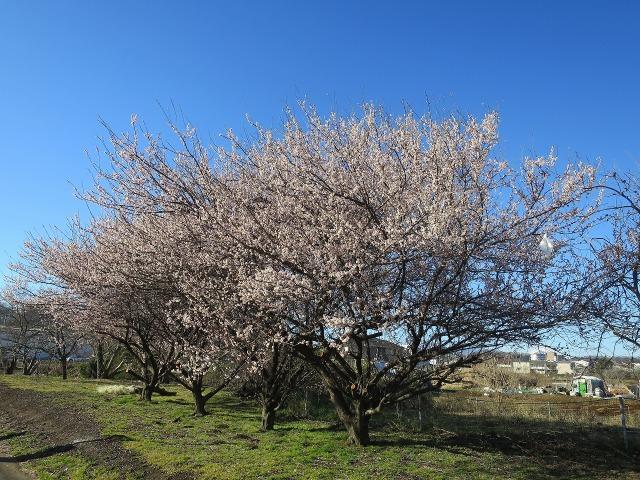 咲き乱れる梅の木
