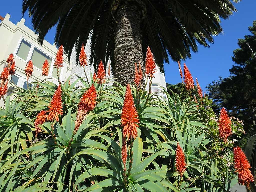 サンフランシスコ - テレグラフヒルの花