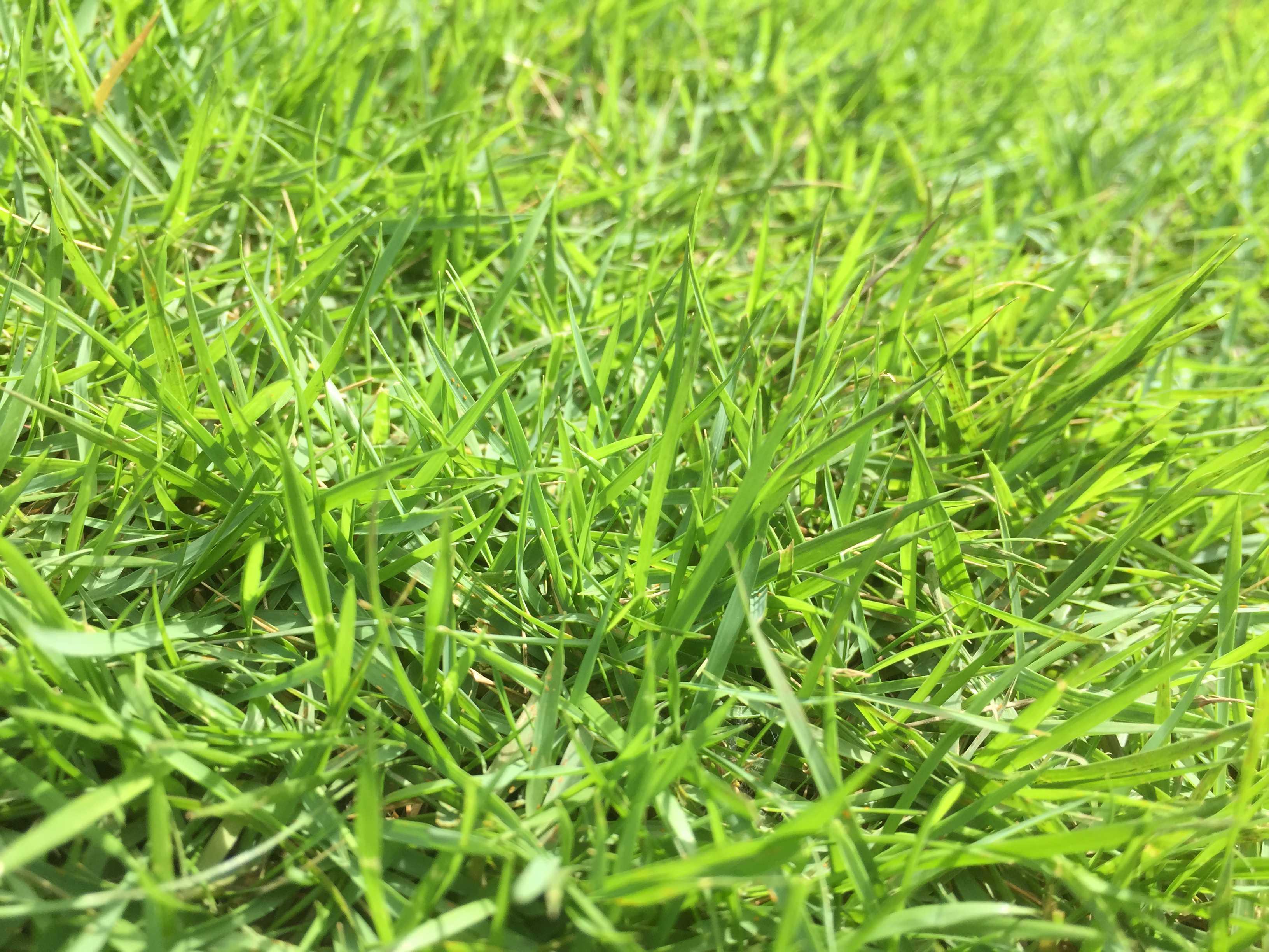 青々と成長た芝生