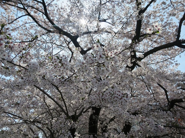 浅川土手の桜が満開