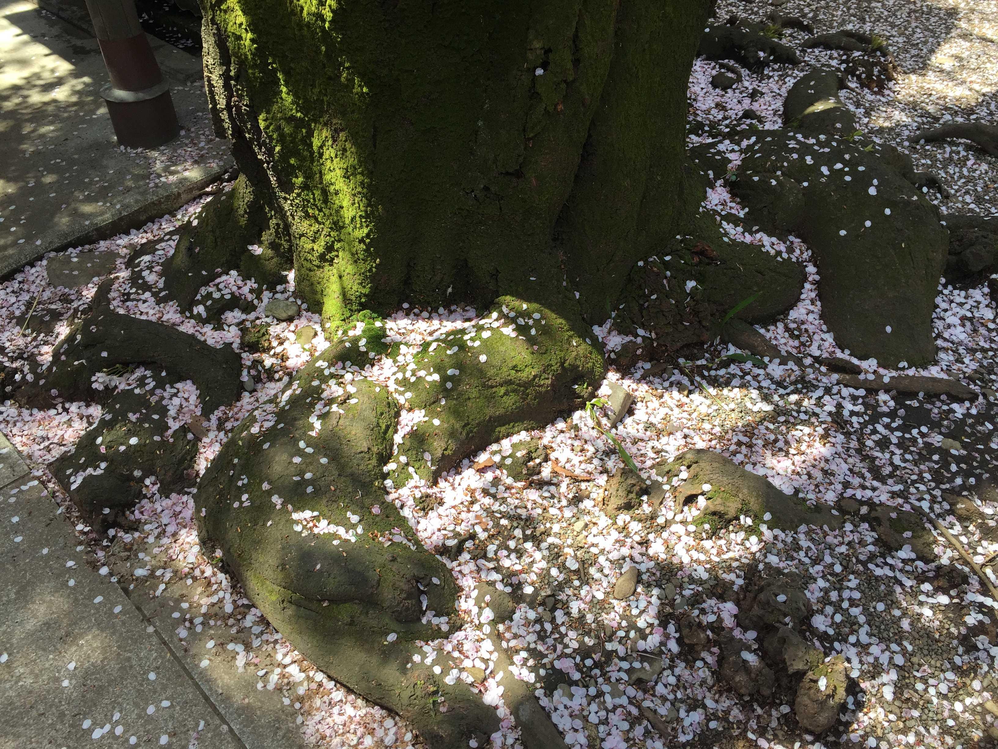 子安神社(東京・八王子)の桜の木の下(根元)