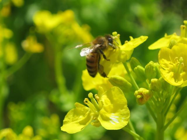 菜の花の蜜を吸うみつばち
