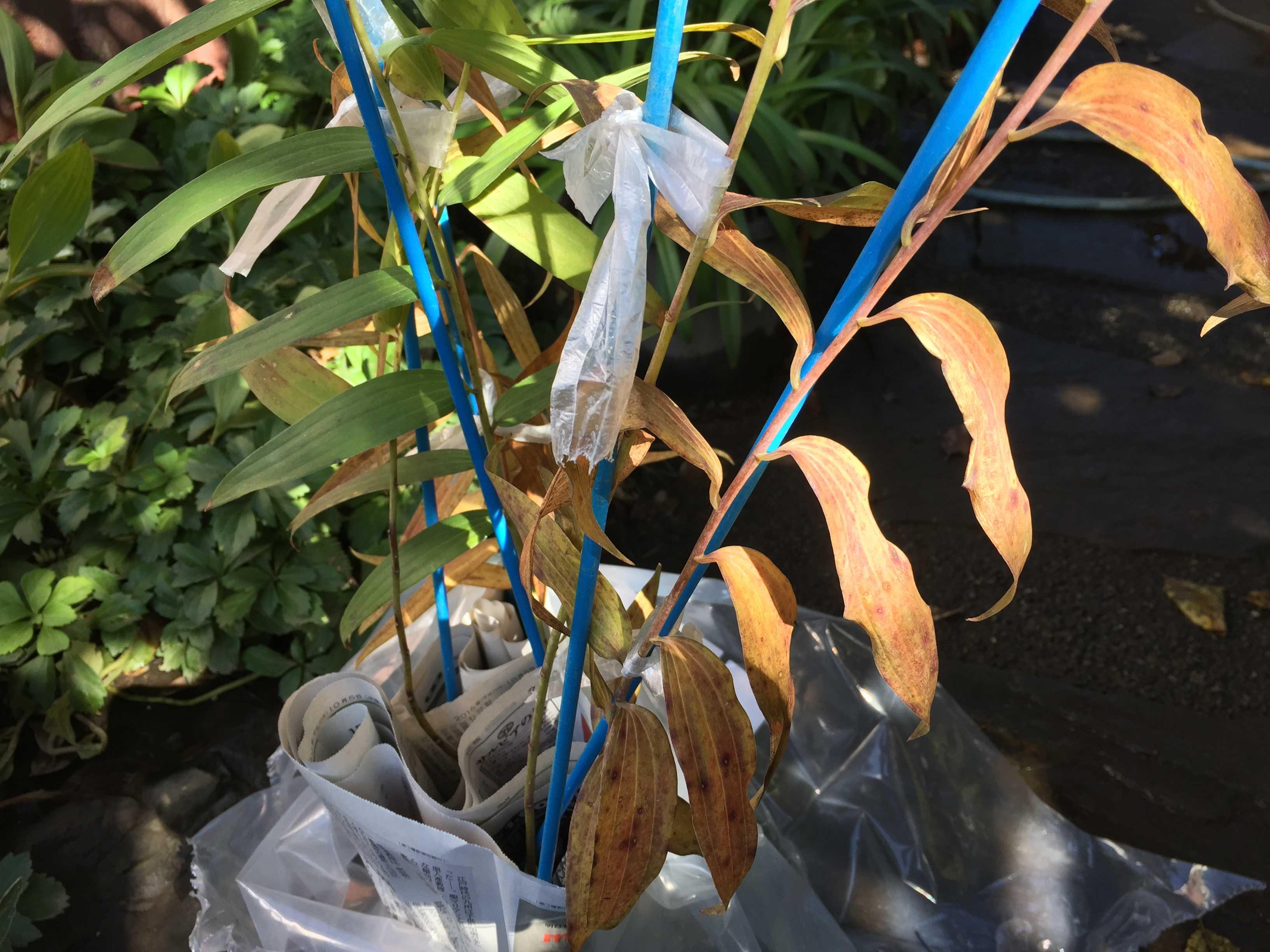 ヤマユリ庭植え - 枯れてる苗