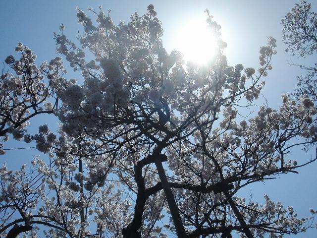 太陽に照らされる山高神代桜