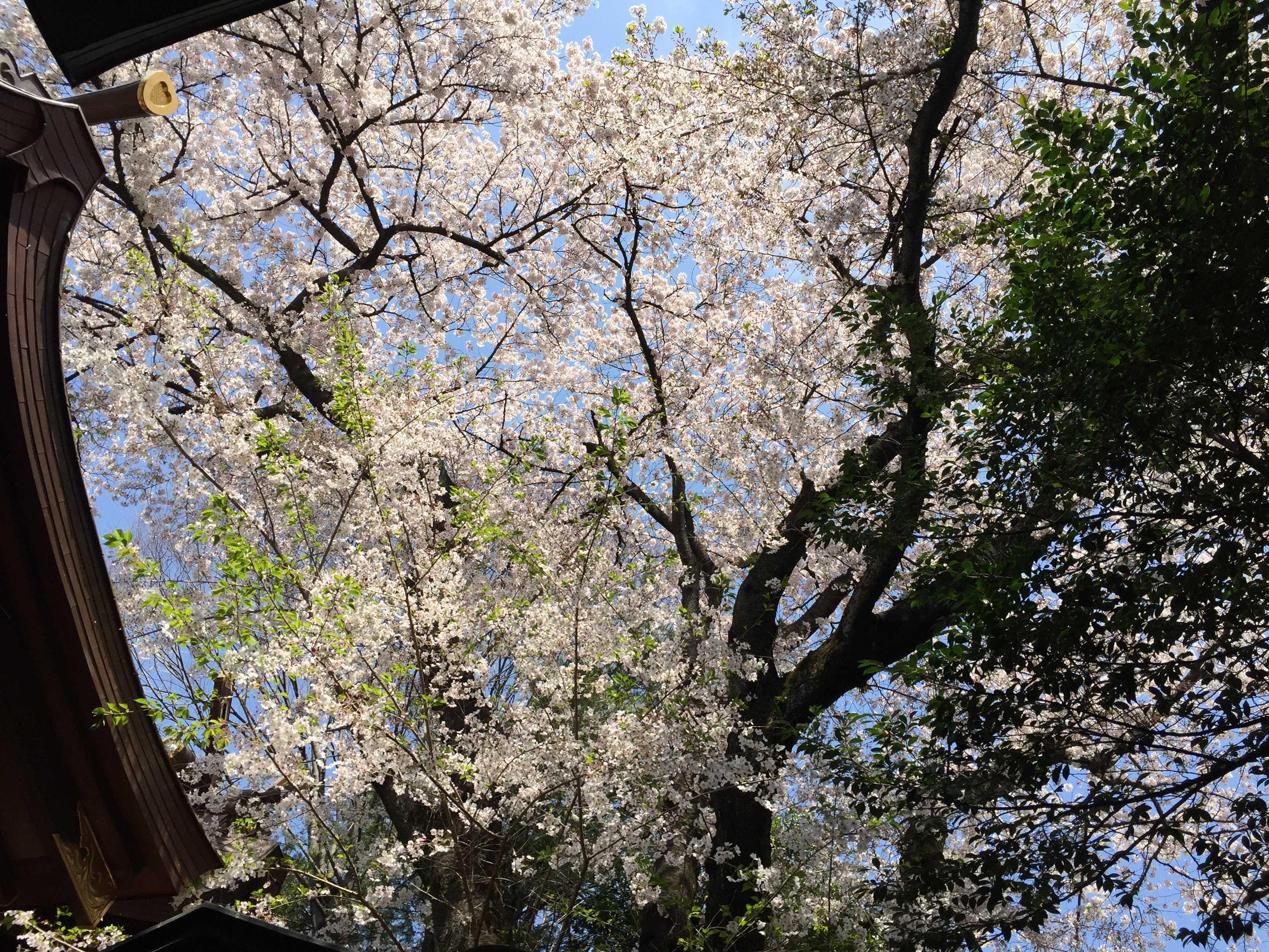 子安神社(東京・八王子)の桜