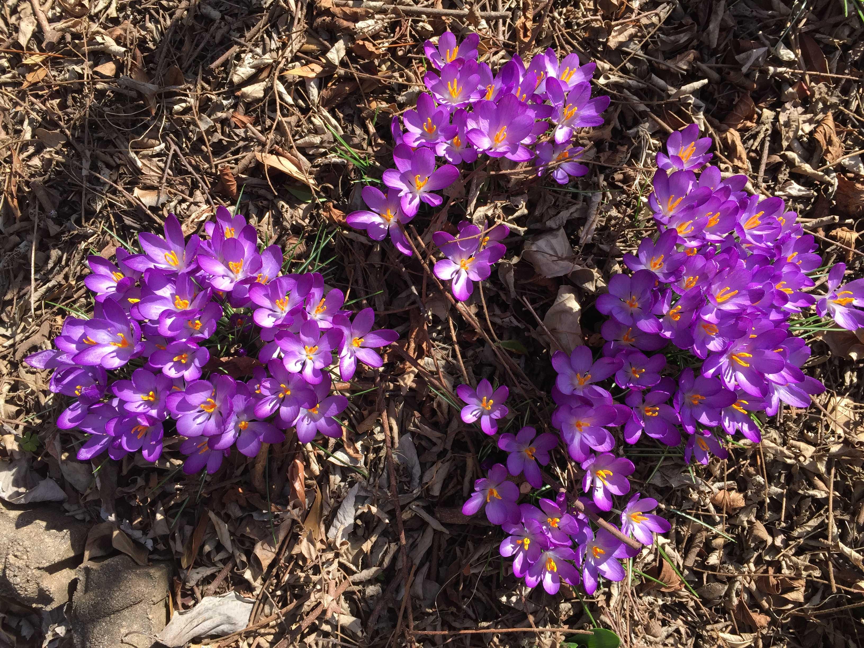 春告花 - ムラサキのクロッカス