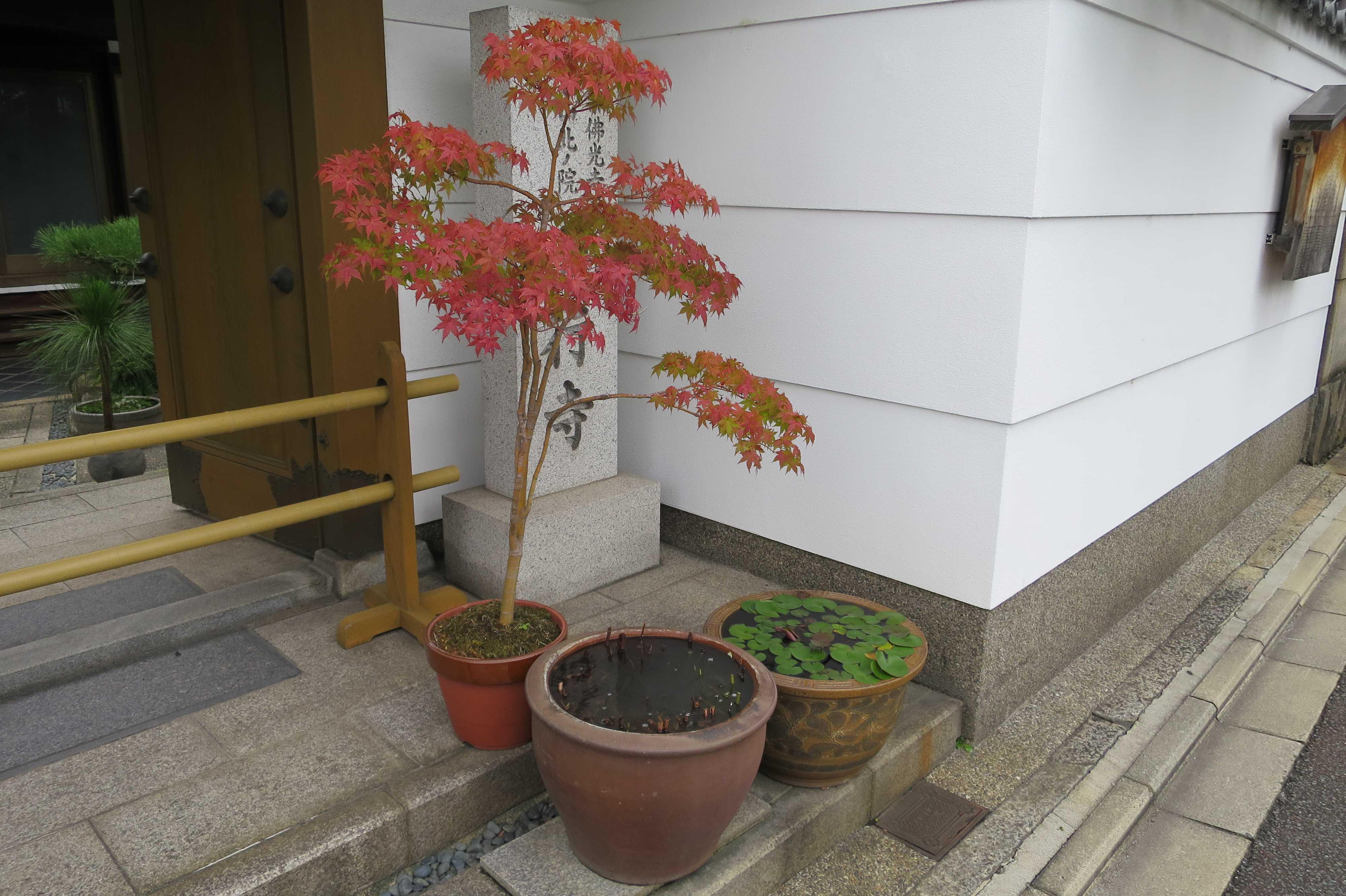 真っ赤なもみじの鉢植え(京都市内)