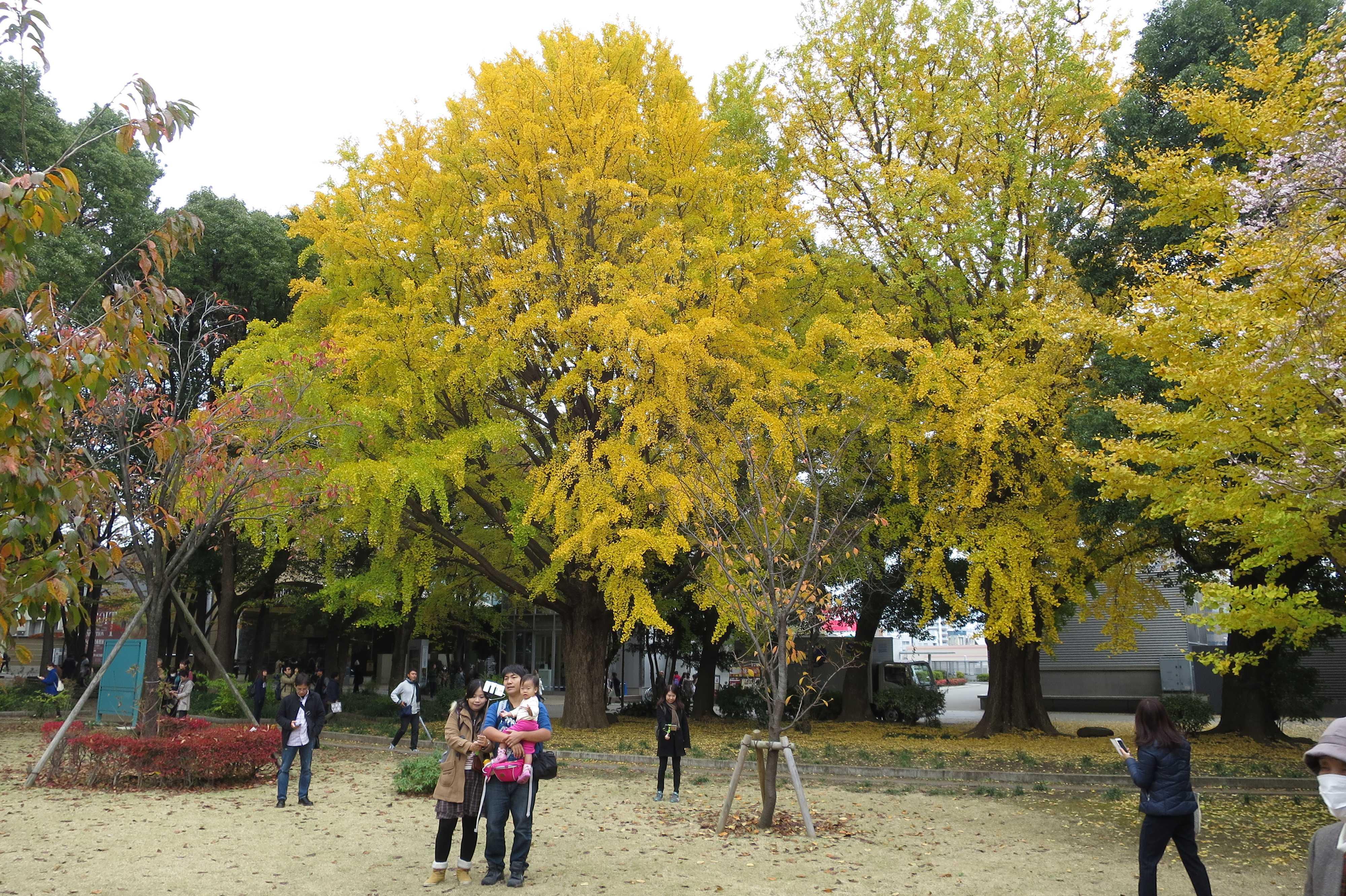 真っ黄色のいちょう - 上野公園