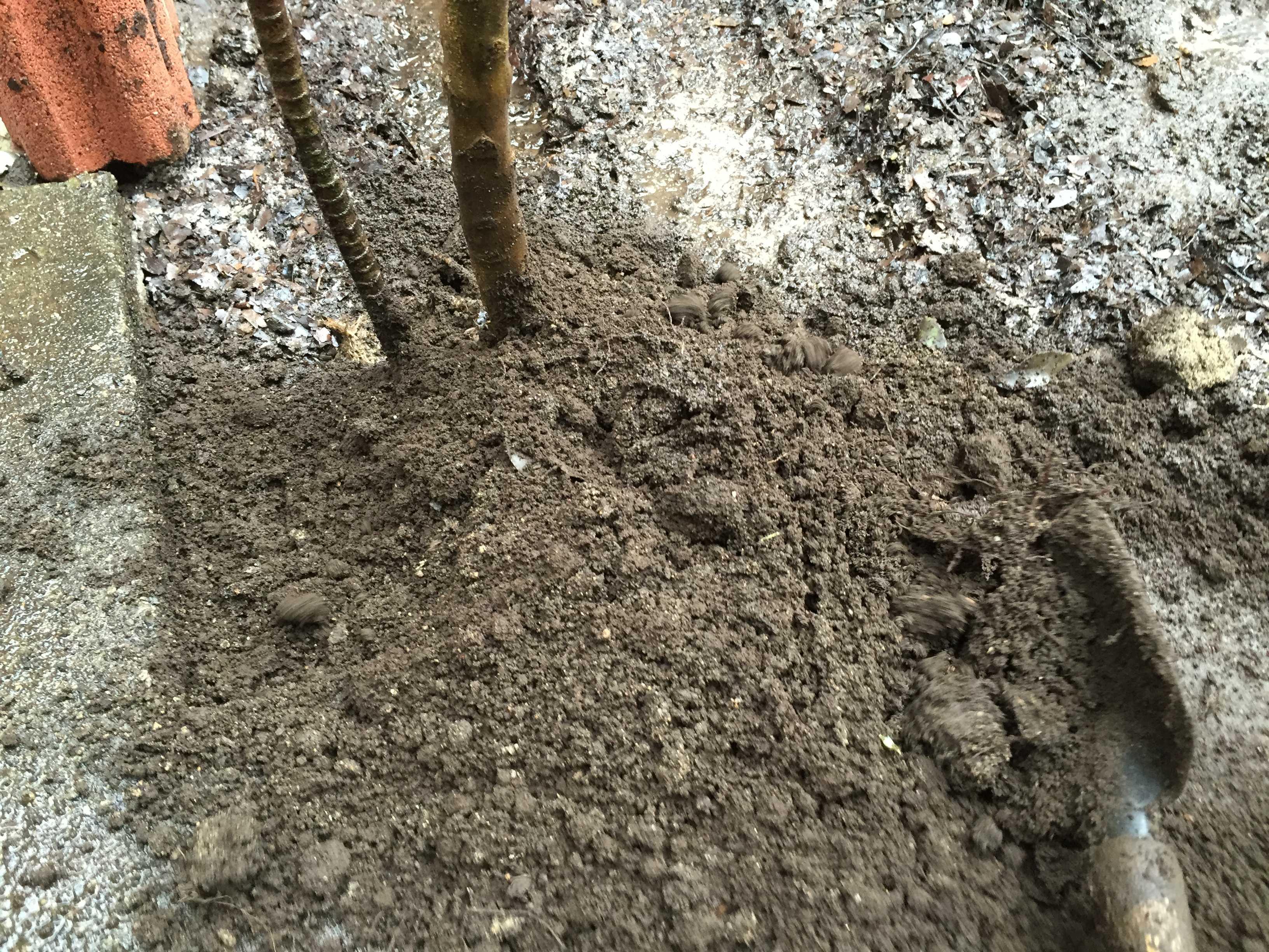 ザクロの植え付け: 水極めの踏み固め